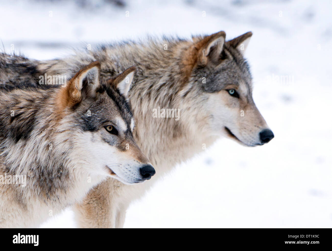 Two sub adult North American Timber wolves (Canis lupus) in snow, Austria, Europe - Stock Image