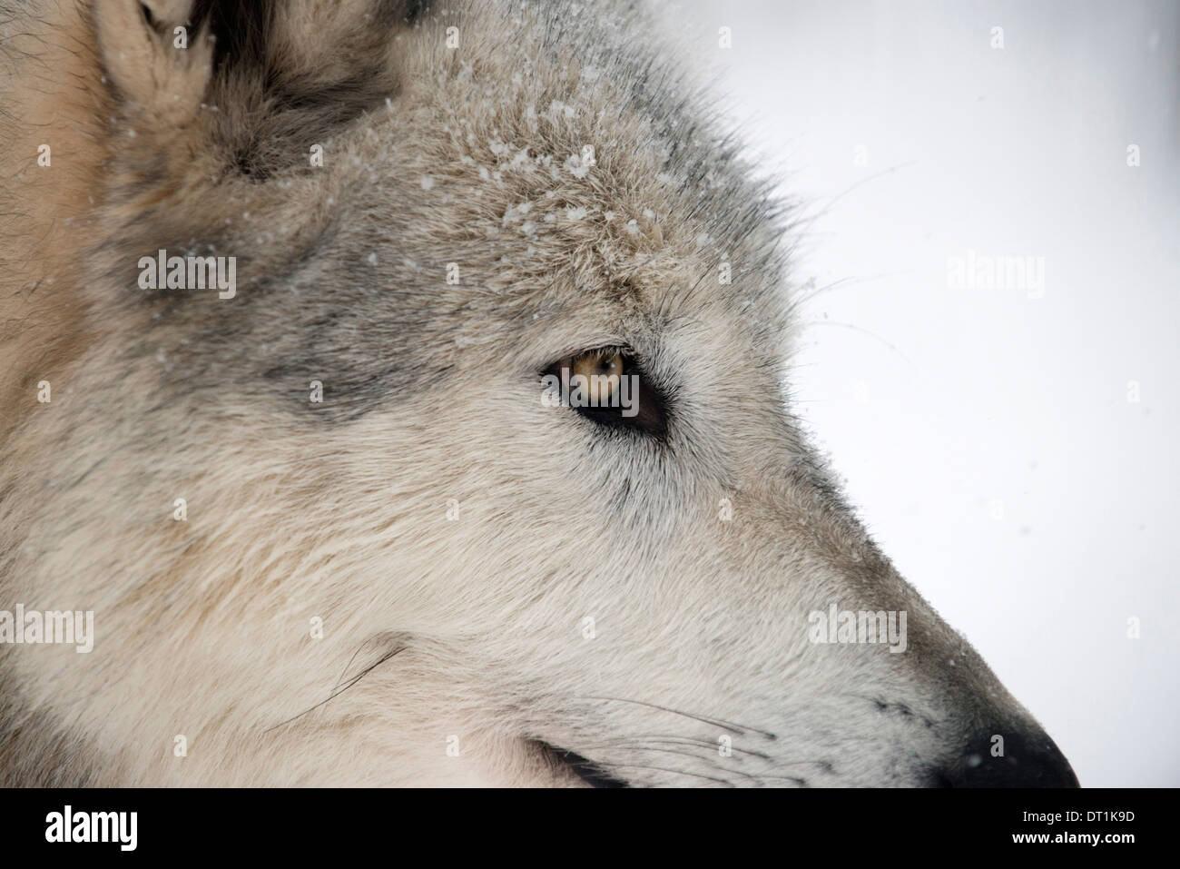 Close-up of face and snout of a North American Timber wolf (Canis lupus) in forest, Austria, Europe - Stock Image