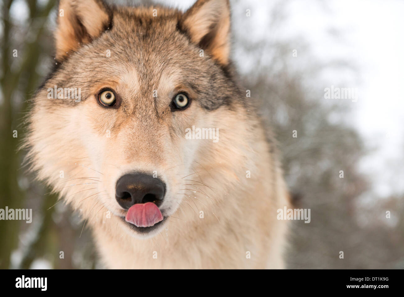 North American Timber wolf (Canis lupus) in forest, Austria, Europe - Stock Image
