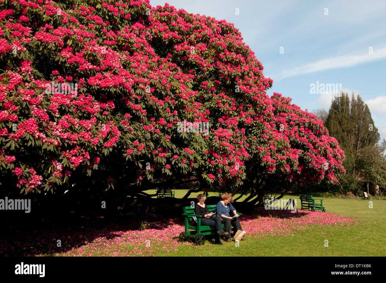 huge rhododendron tree in flower in spring in the lost. Black Bedroom Furniture Sets. Home Design Ideas
