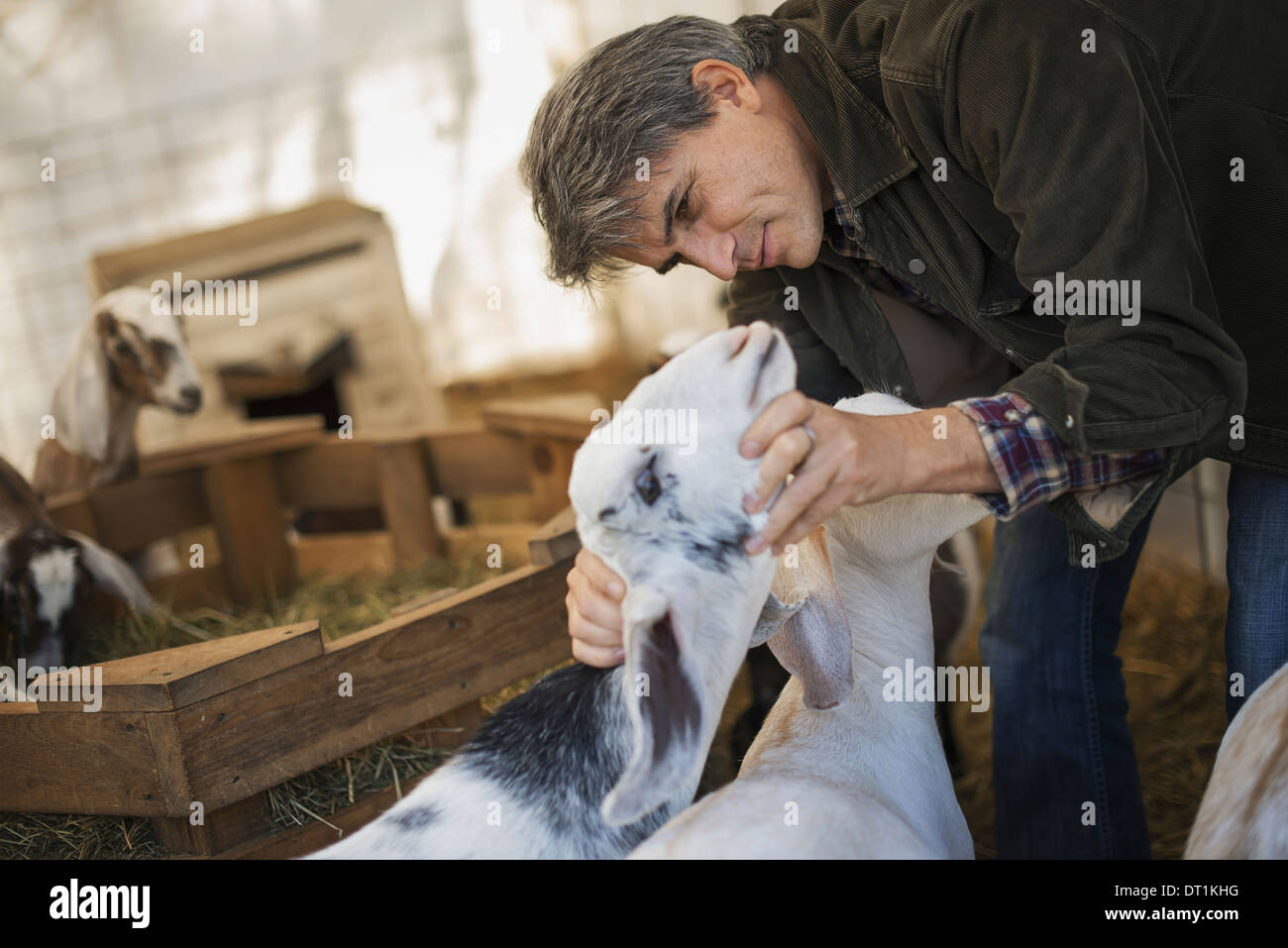 A man in a barn with a flock of goats on an organic dairy farm - Stock Image