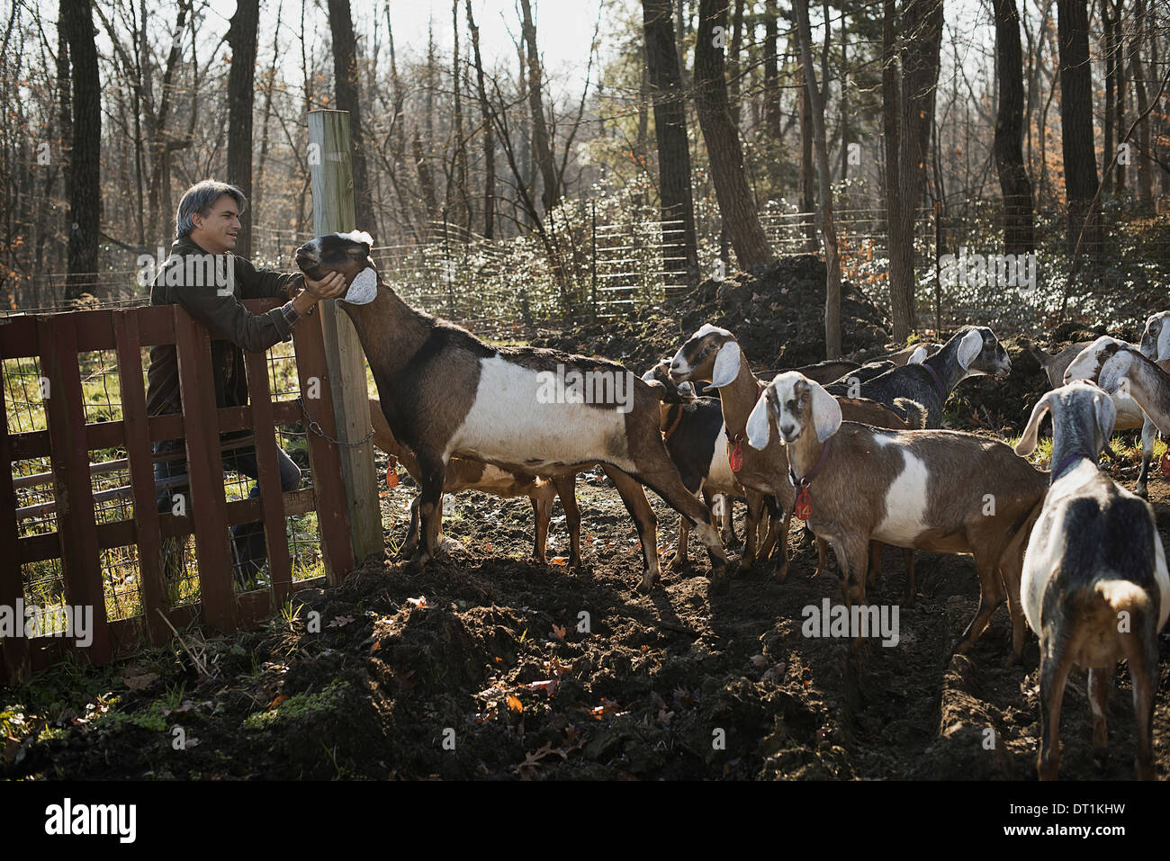 A man standing in a paddock with a flock of goats on an organic dairy farm - Stock Image