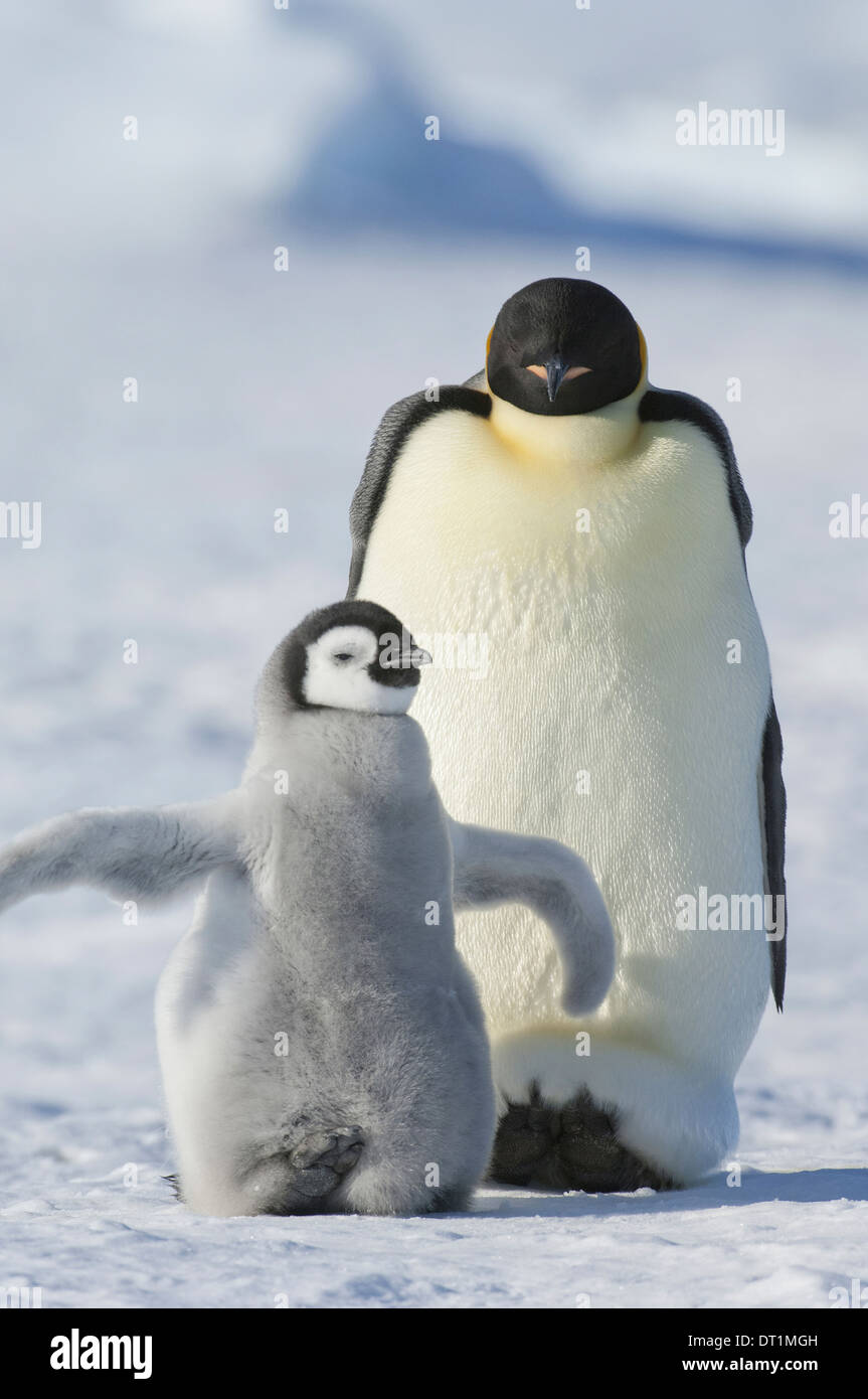 An adult Emperor penguin and a smaller fluffy penguin chick spreading its flippers out - Stock Image