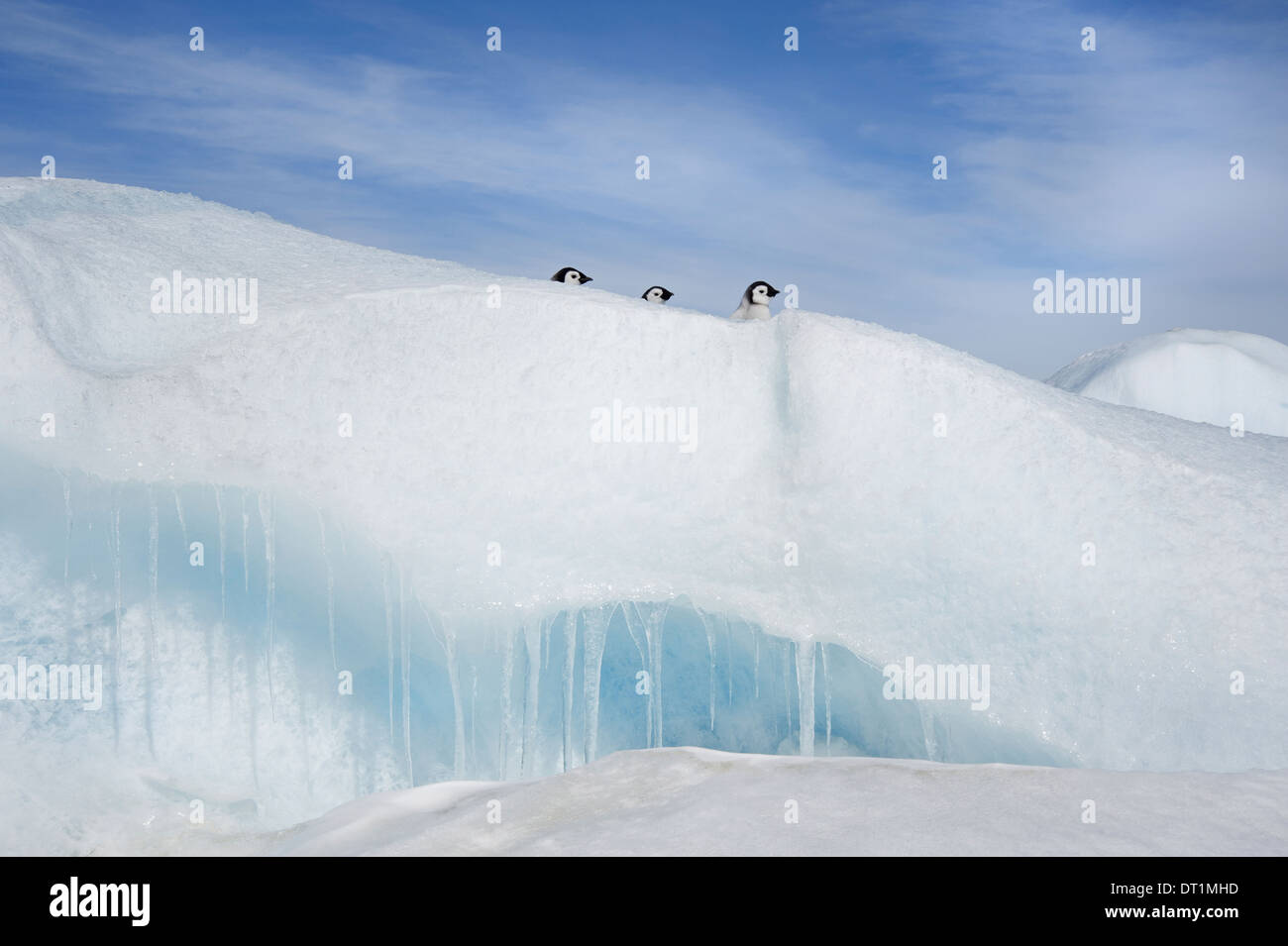 Three penguin chicks in a row heads seen peering over a snowdrift or ridge in the ice on Snow Hill island - Stock Image