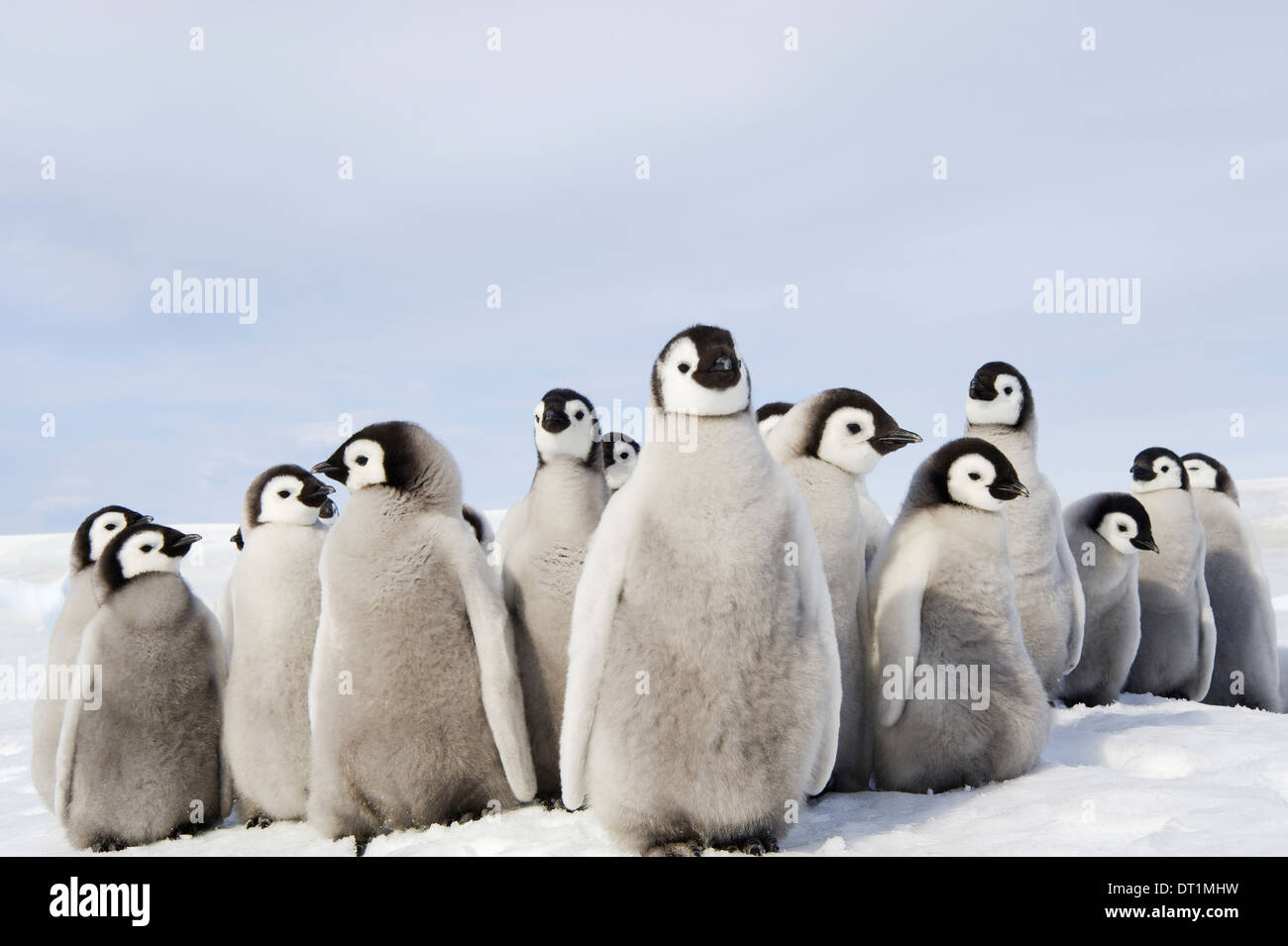 A nursery group of Emperor penguin chicks huddled together looking around A breeding colony - Stock Image