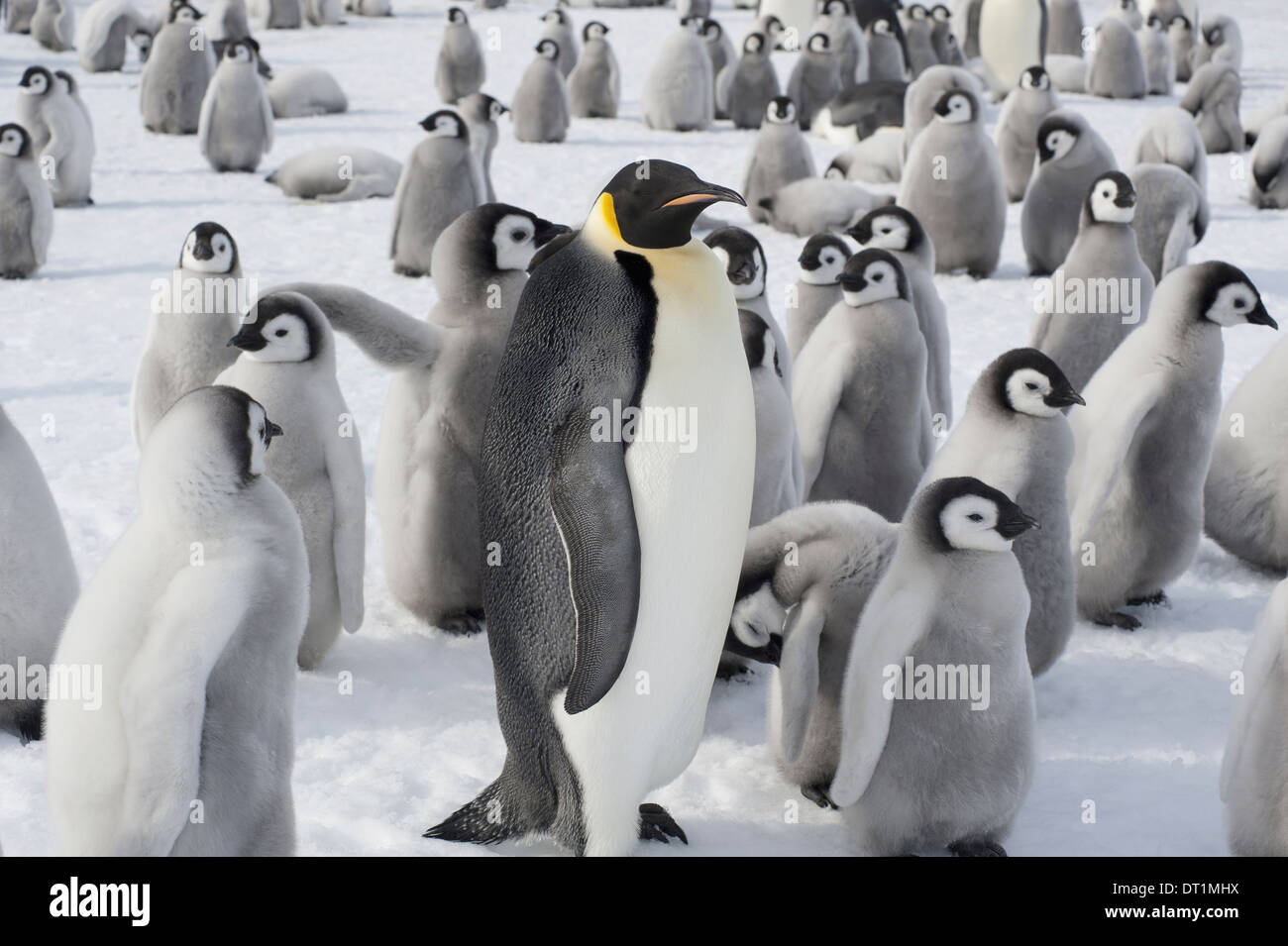 A group of Emperor penguins one adult animal and a large group of penguin chicks A breeding colony Stock Photo