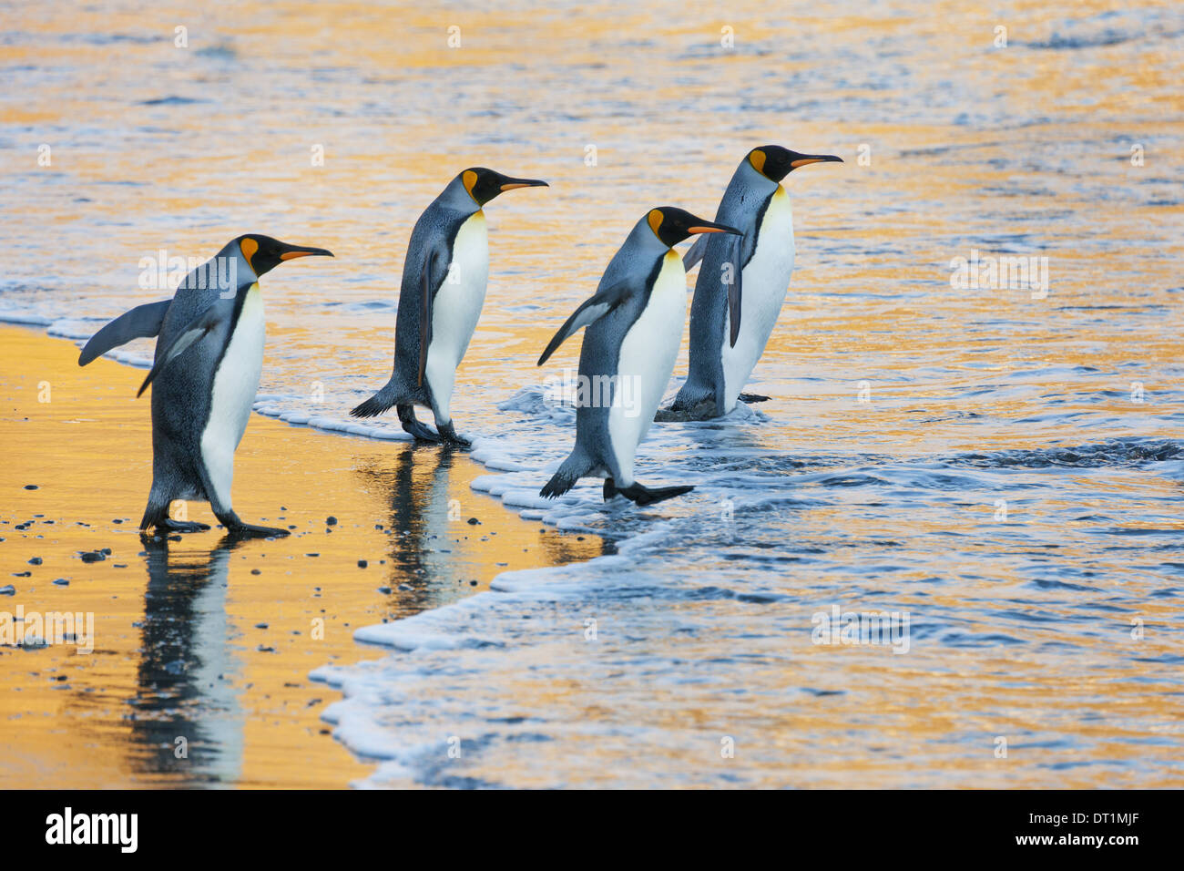 A group of four adult King penguins at the water's edge walking into the water at sunrise Reflected light - Stock Image