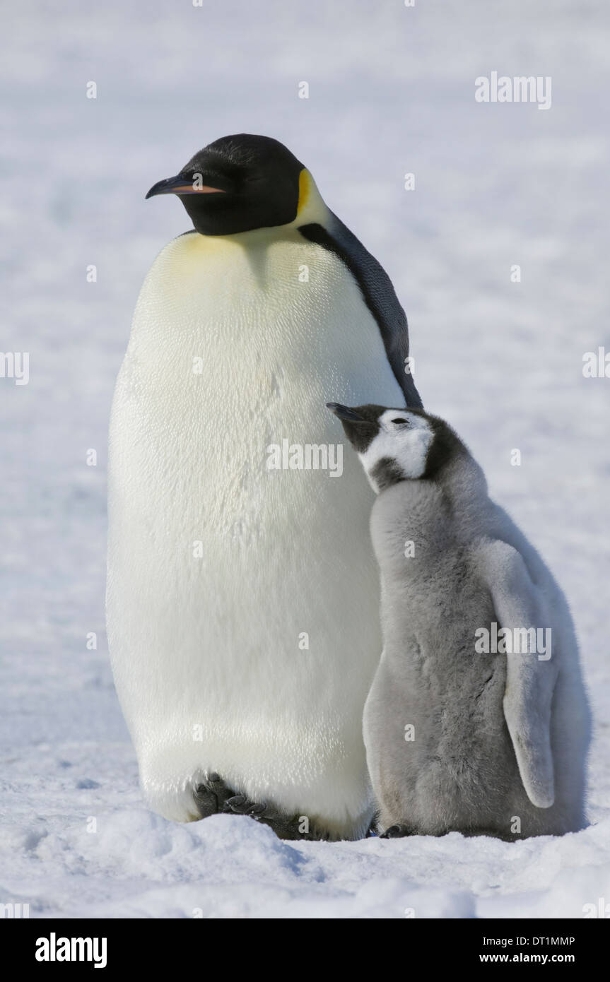 Two Emperor penguins an adult bird and a chick side by side on the ice - Stock Image