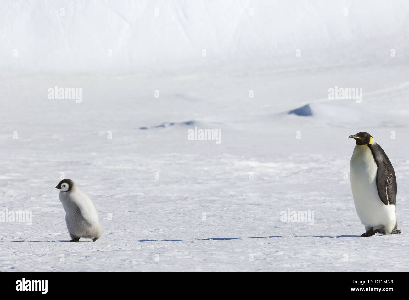 An adult Emperor penguin watching over a baby chick on the ice on Snow Hill island - Stock Image