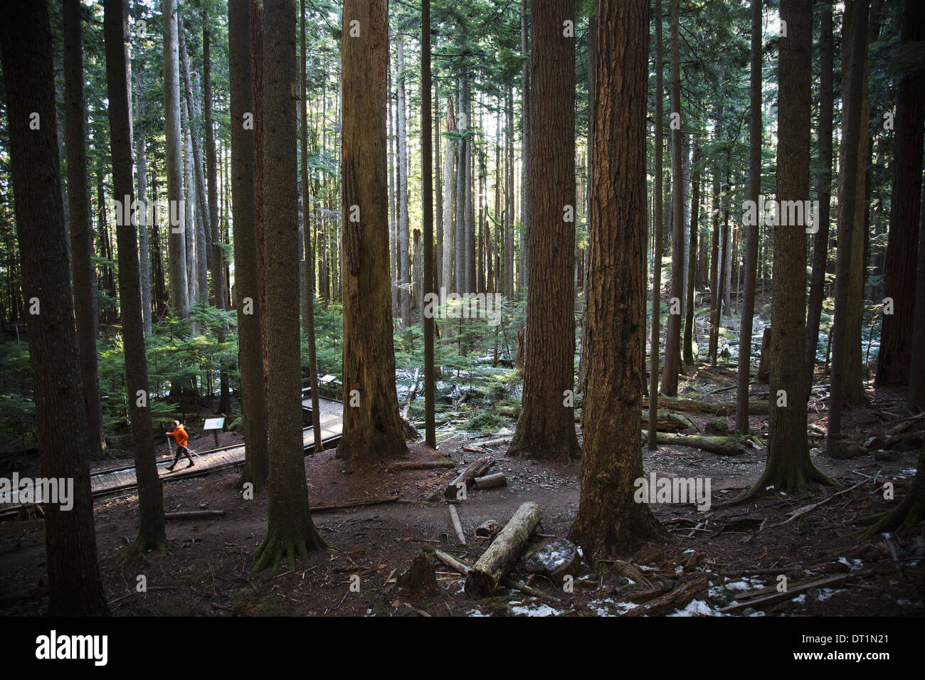 A man walking up a trail surrounded by tall trees in a thick forest near North Bend Washington - Stock Image