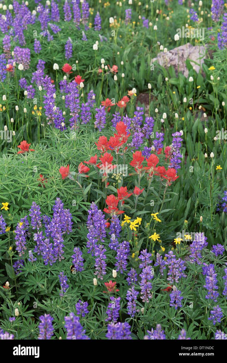 A field of mountain wildflowers poppies and lupins in the Wasatch mountains - Stock Image