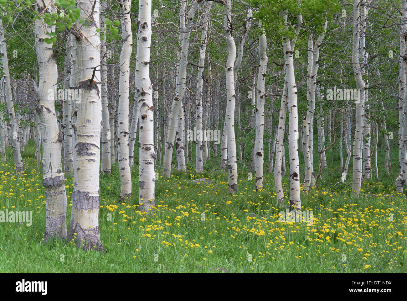 Grove of aspen trees with white bark and bright green vivid colours in the wild flowers and grasses underneath Stock Photo