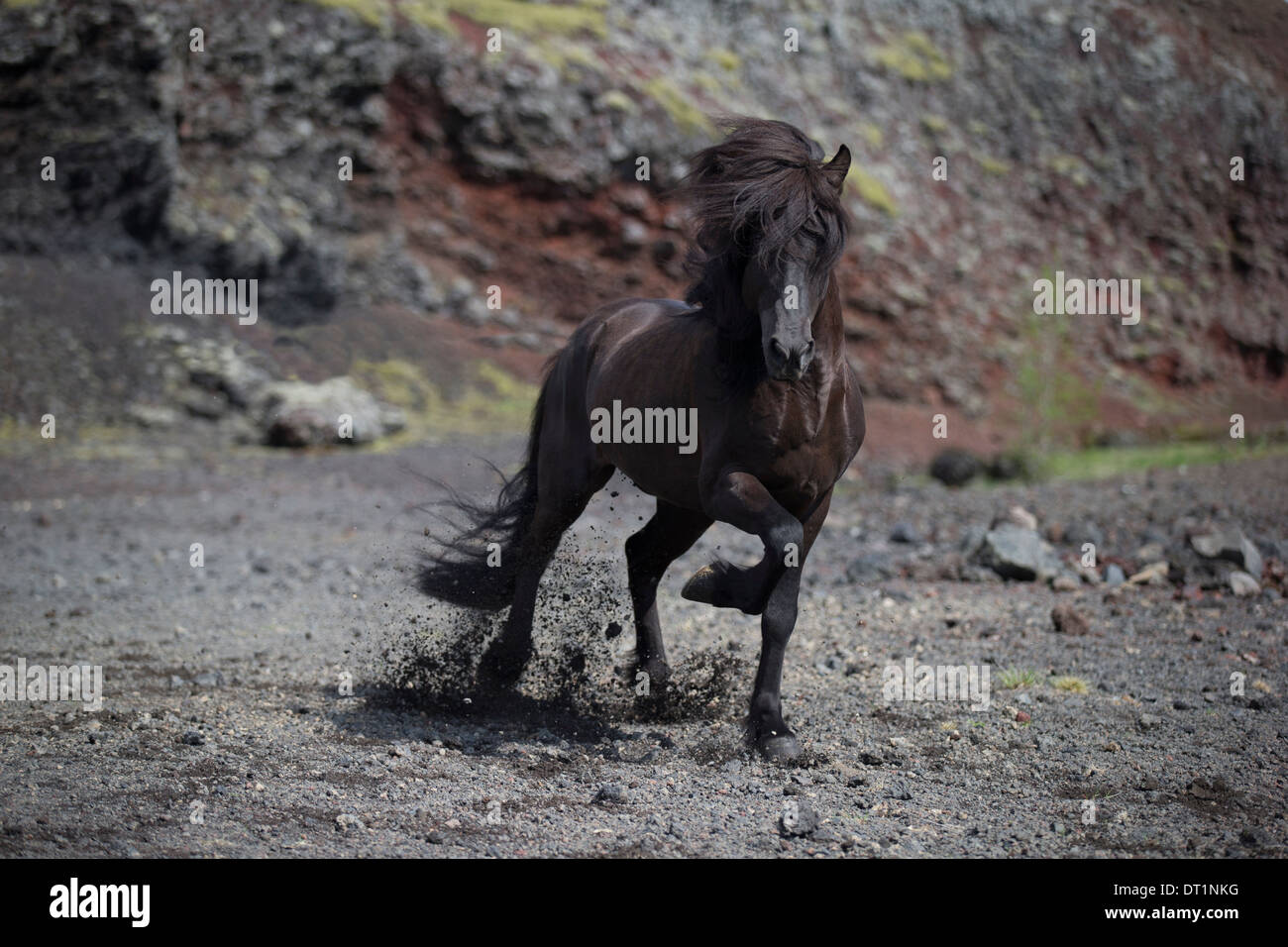 Fashion week Icelandic Black horse pictures for lady
