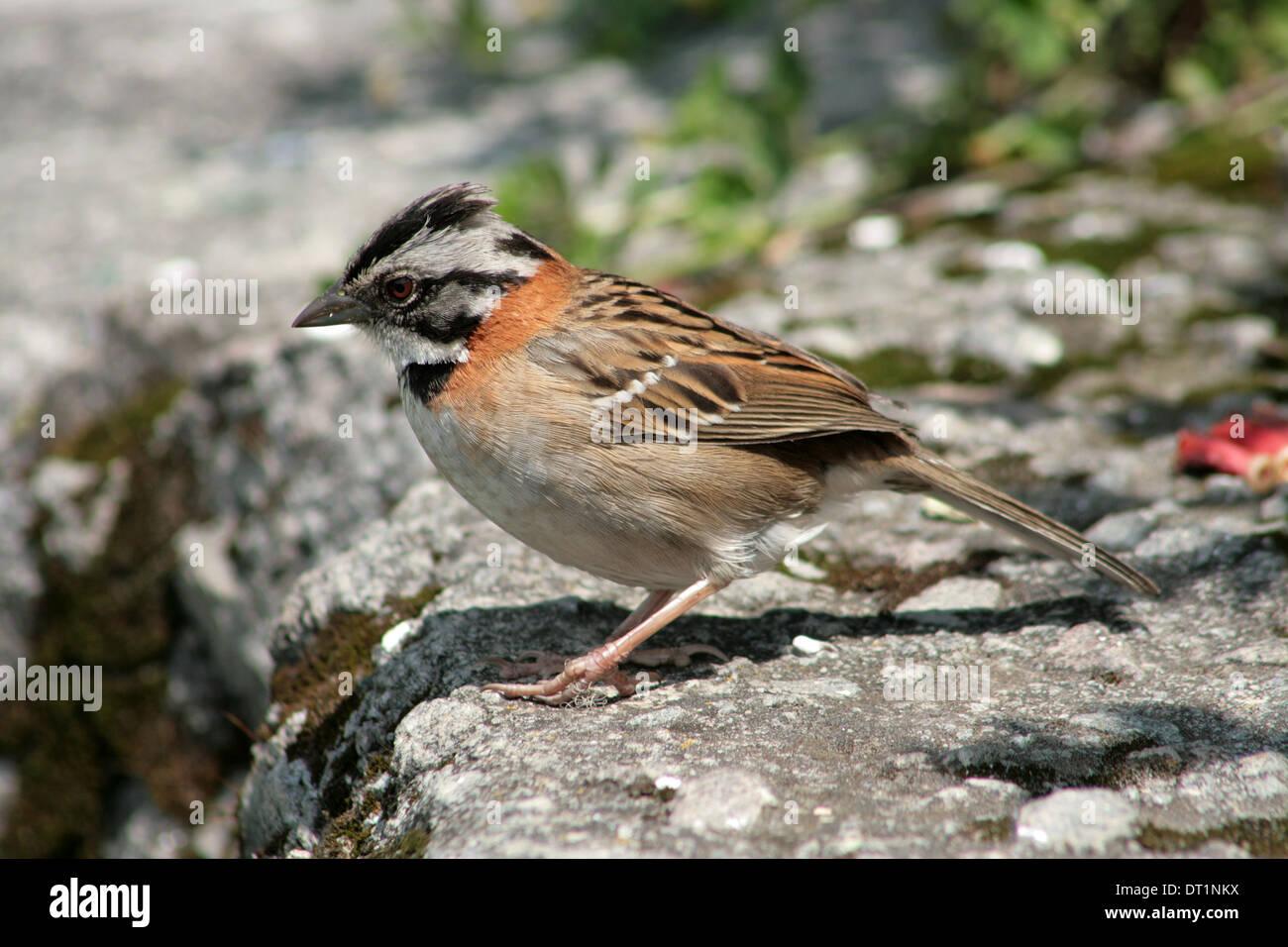 A Rufous Collared Sparrow on a stone ledge in Cotacachi, Ecuador Stock Photo