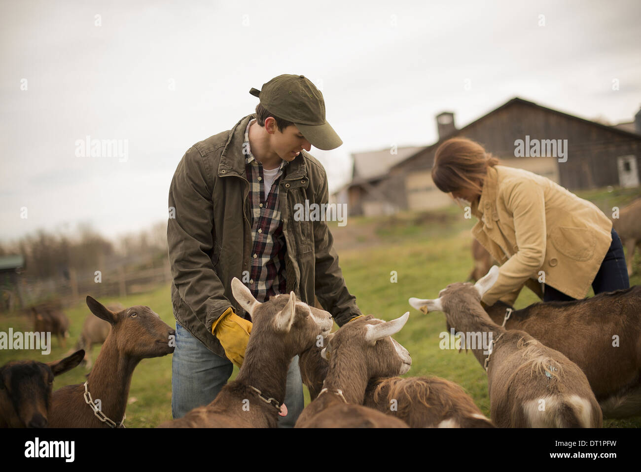 Dairy Farm Farmer working and tending to the animals - Stock Image