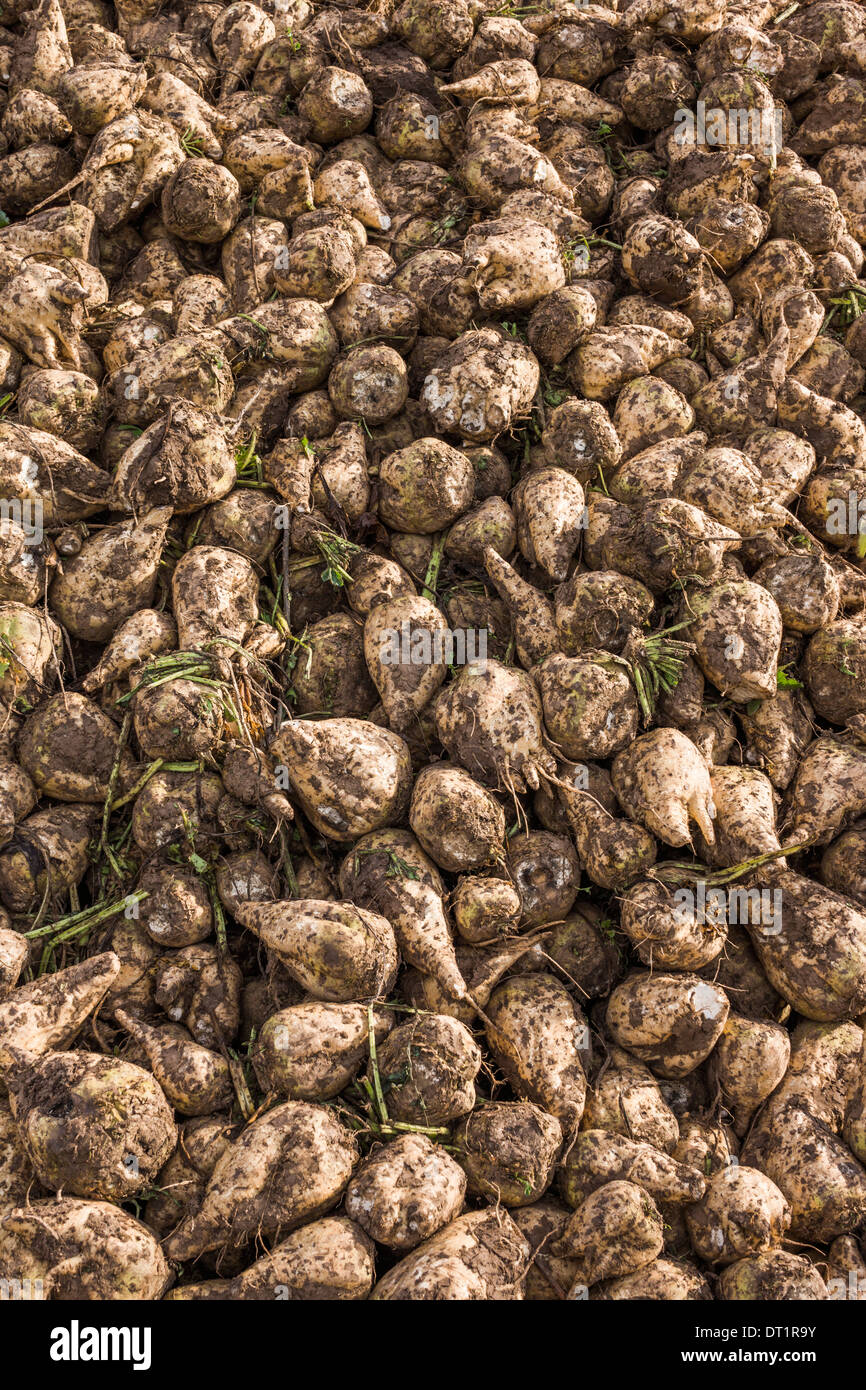newly harvested sugar beet, proximity of heilbronn, baden-wuerttemberg, germany - Stock Image