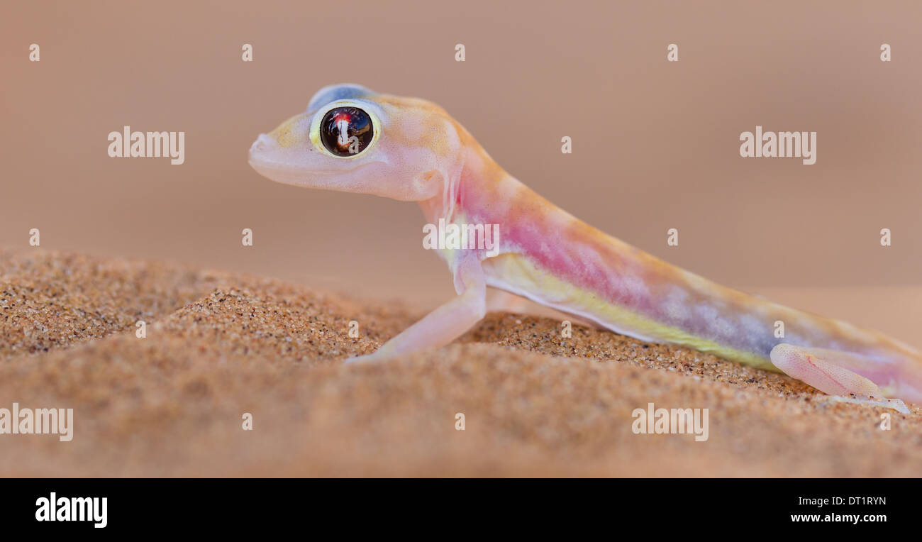 Palmatogecko (Pachydactylus rangei)  also known as Web-footed Gecko  a nocturnal gecko endemic to the Namib Desert Stock Photo