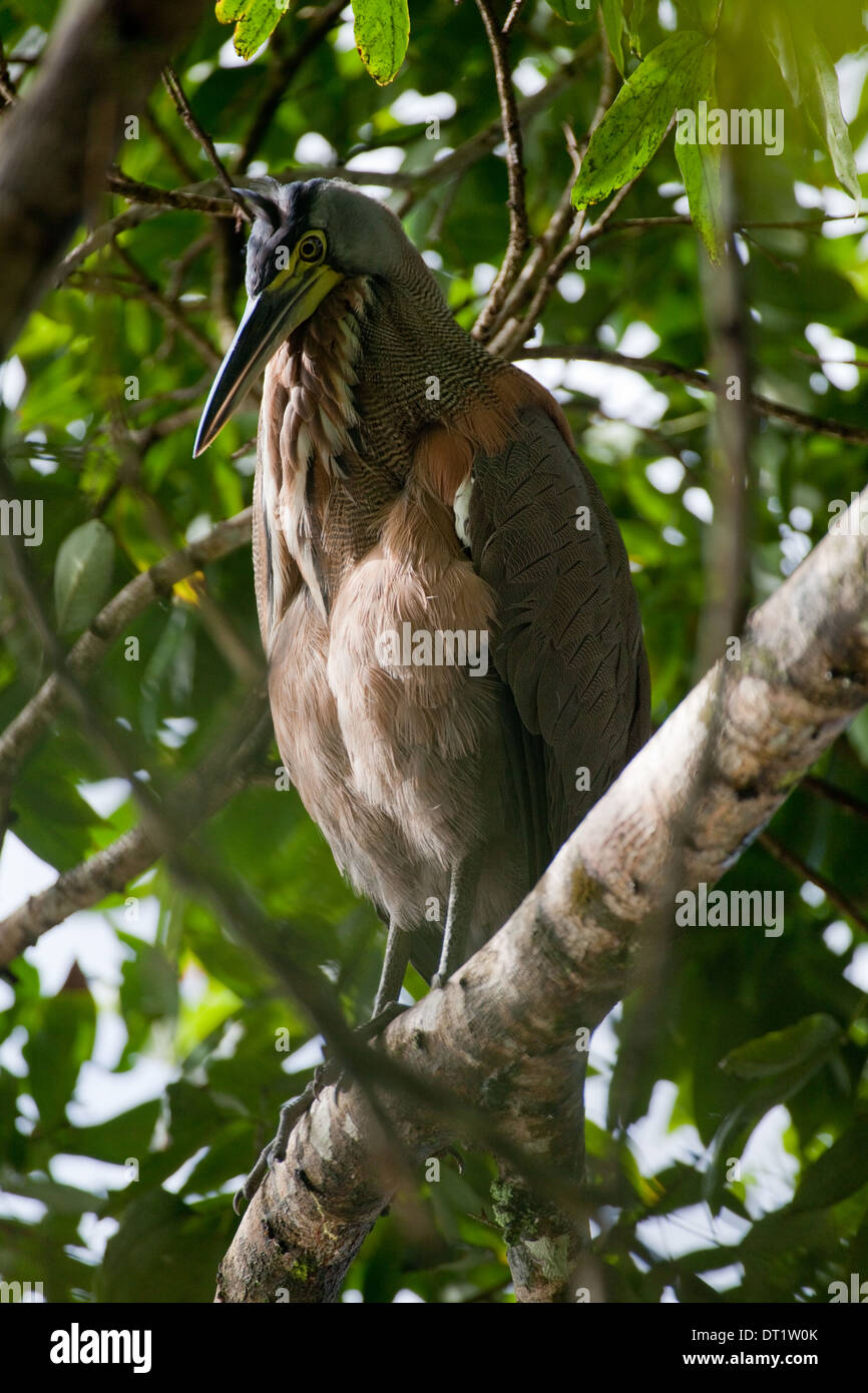 Bare-throated Tiger Heron (Tigrisoma mexicanum). Roosting in a riverside tree. Costa Rica - Stock Image