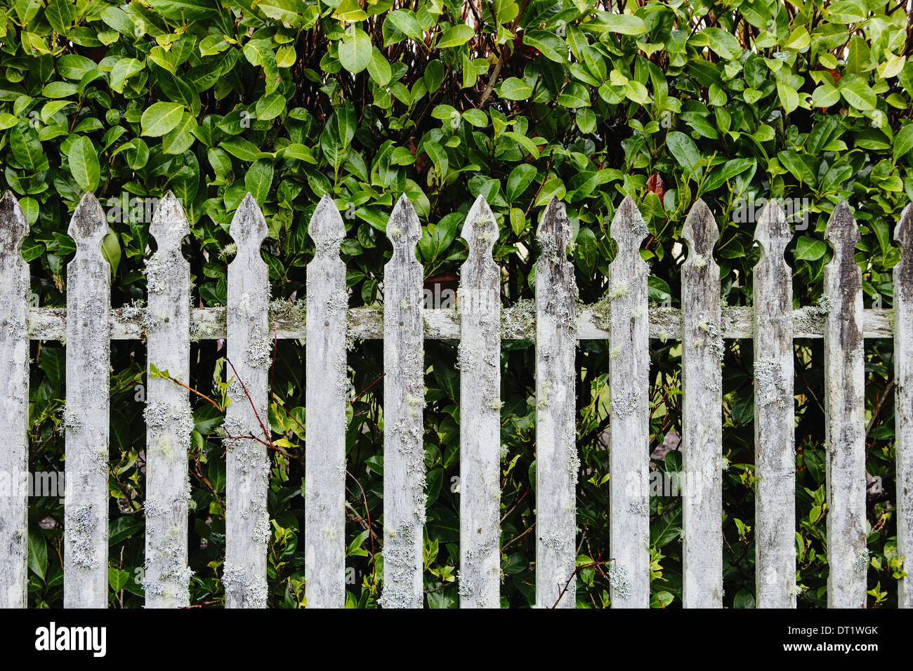 Old moss covered wood picket fence and laurel hedge Oysterville - Stock Image