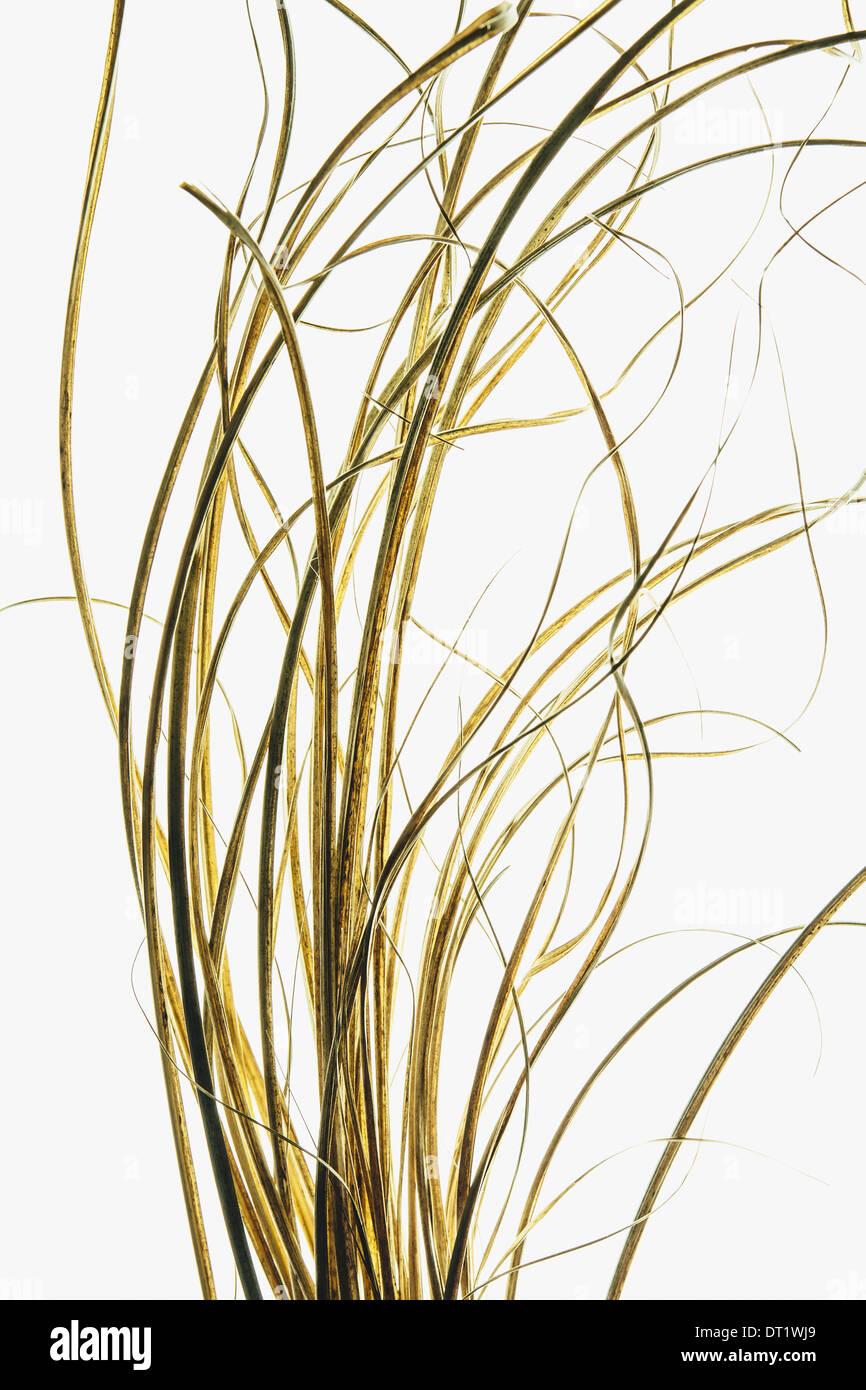 Detail of ornamental grasses on white background - Stock Image