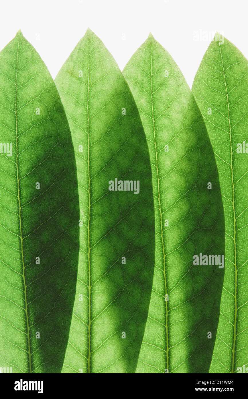 Overlapping green Rhododendron leaves close up - Stock Image