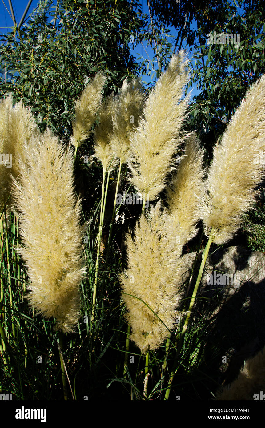 Tall Ornamental Grasses With Seed Heads Glowing In The Autumn Sun