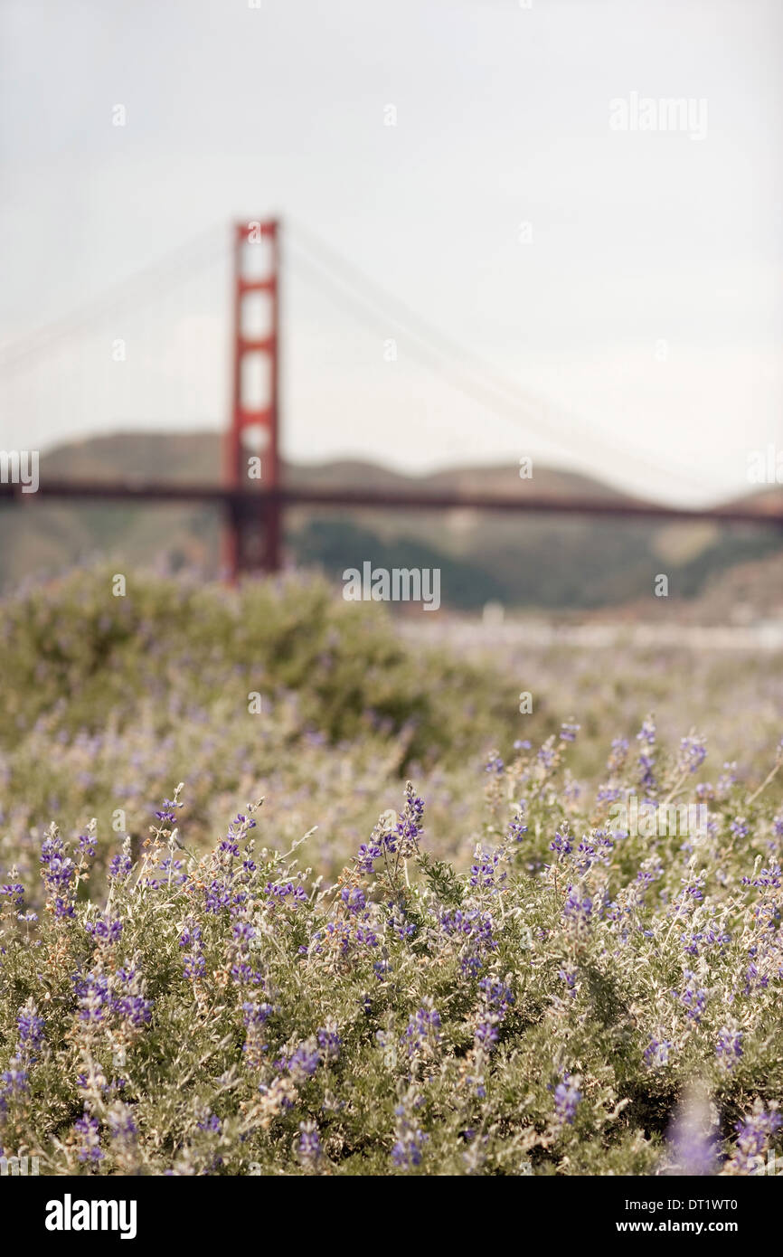 Springtime Wild flowers in a meadow and view to the Golden Gate bridge in San Francisco bay - Stock Image