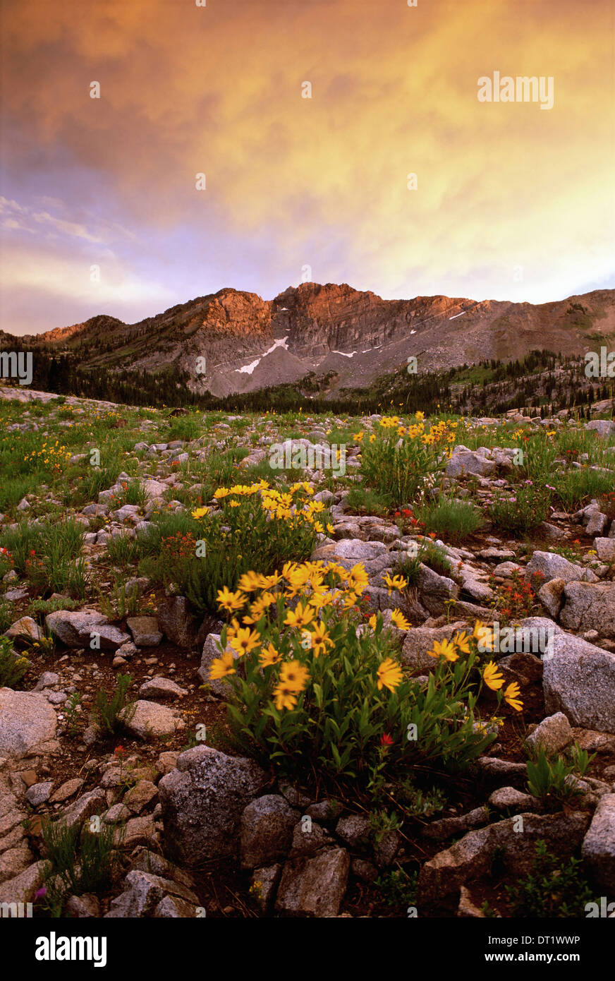 Landscape of Little Cottonwood Canyon with the Devil's Castle mountain peak in the Wasatch mountain range Wild flowers Sunset - Stock Image