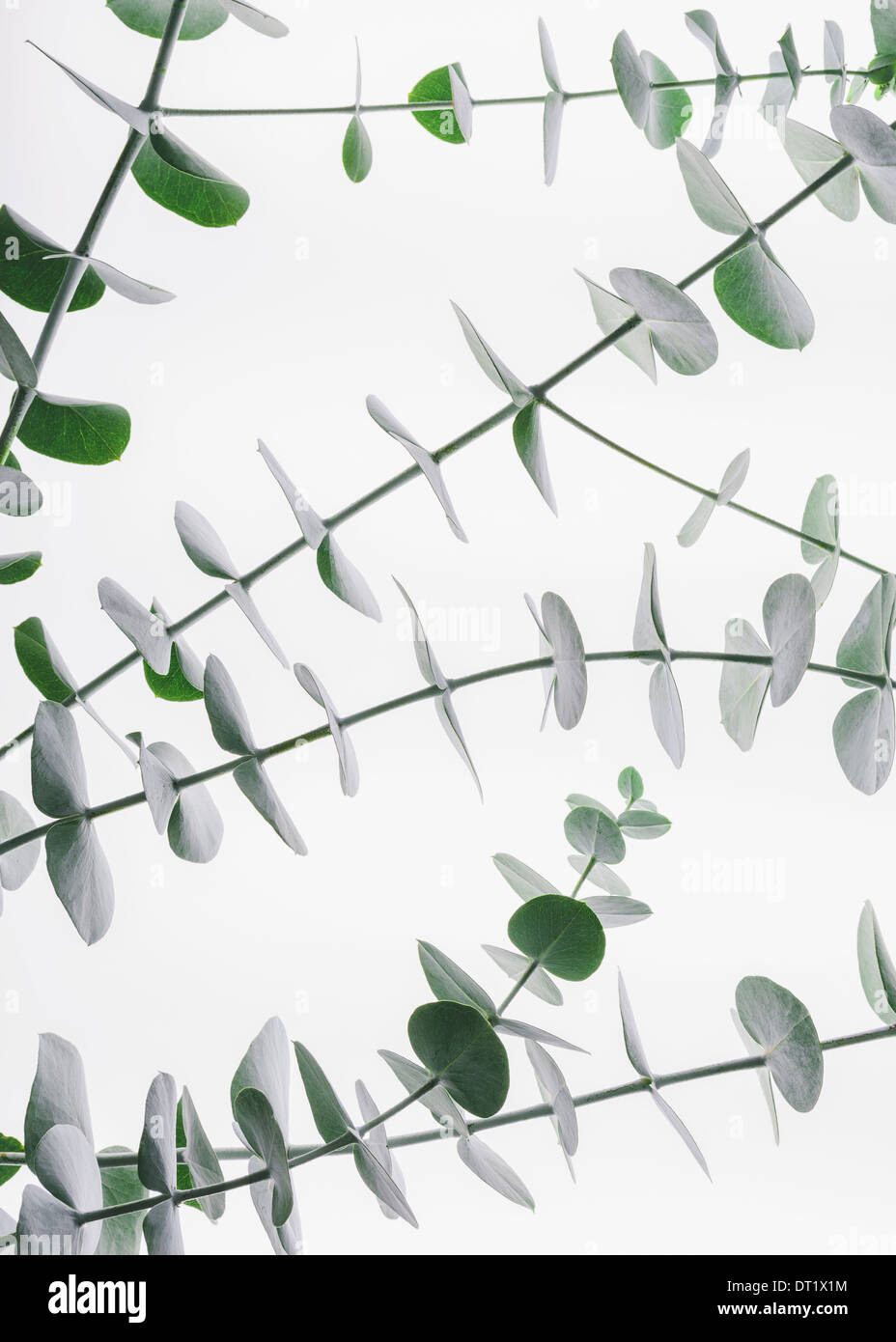 Close up of the small green leaves of the Eucalyptus gunnii tree also know as Cider Gum Leaves arranged in pairs on the twig - Stock Image