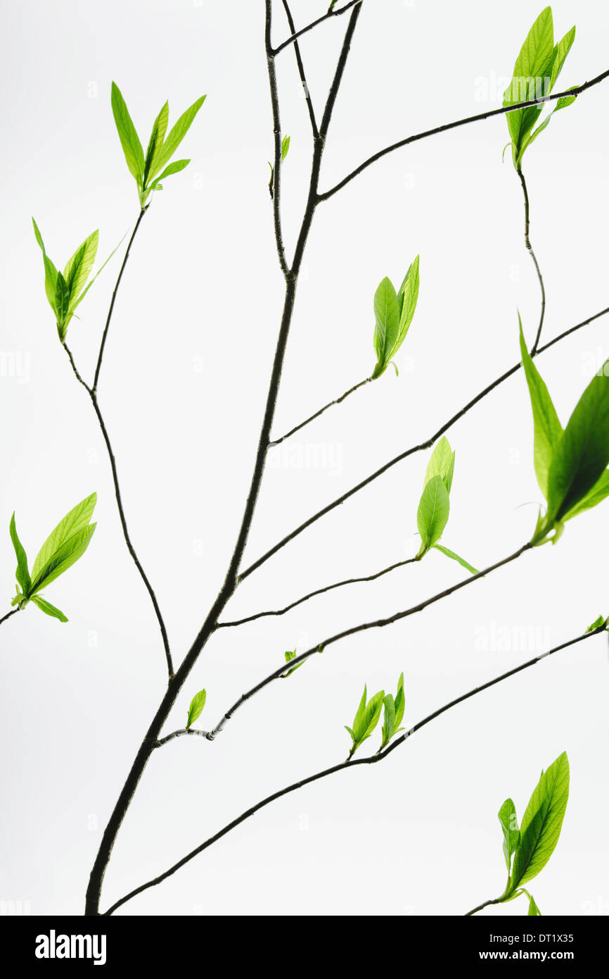 A branch with a pattern of slender twigs leading off the central branch with green shoots and leaves emerging Growth - Stock Image