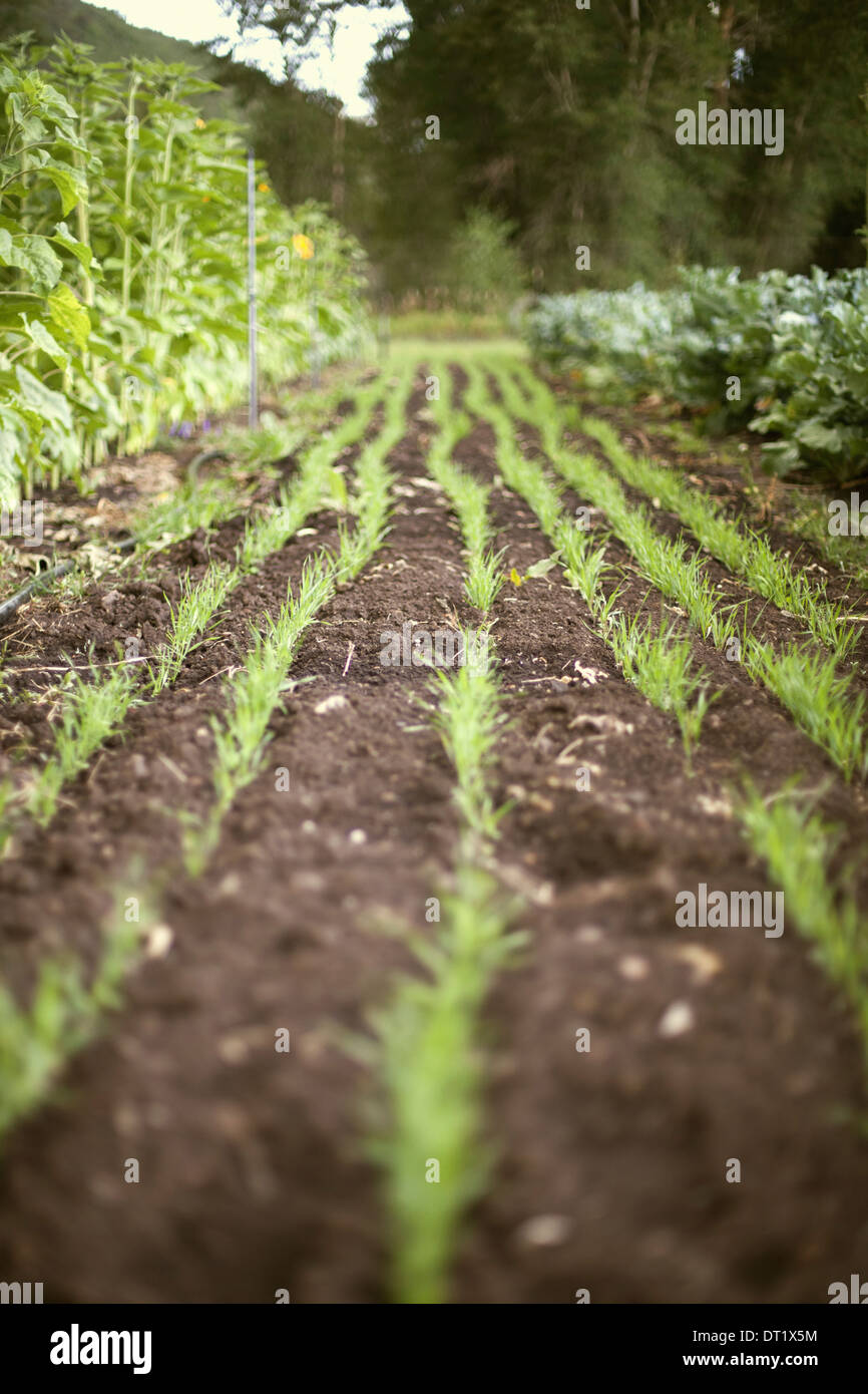 A vegetable garden bed Planted with rows of green shoots seedlings and plants Fresh organic produce Market garden - Stock Image