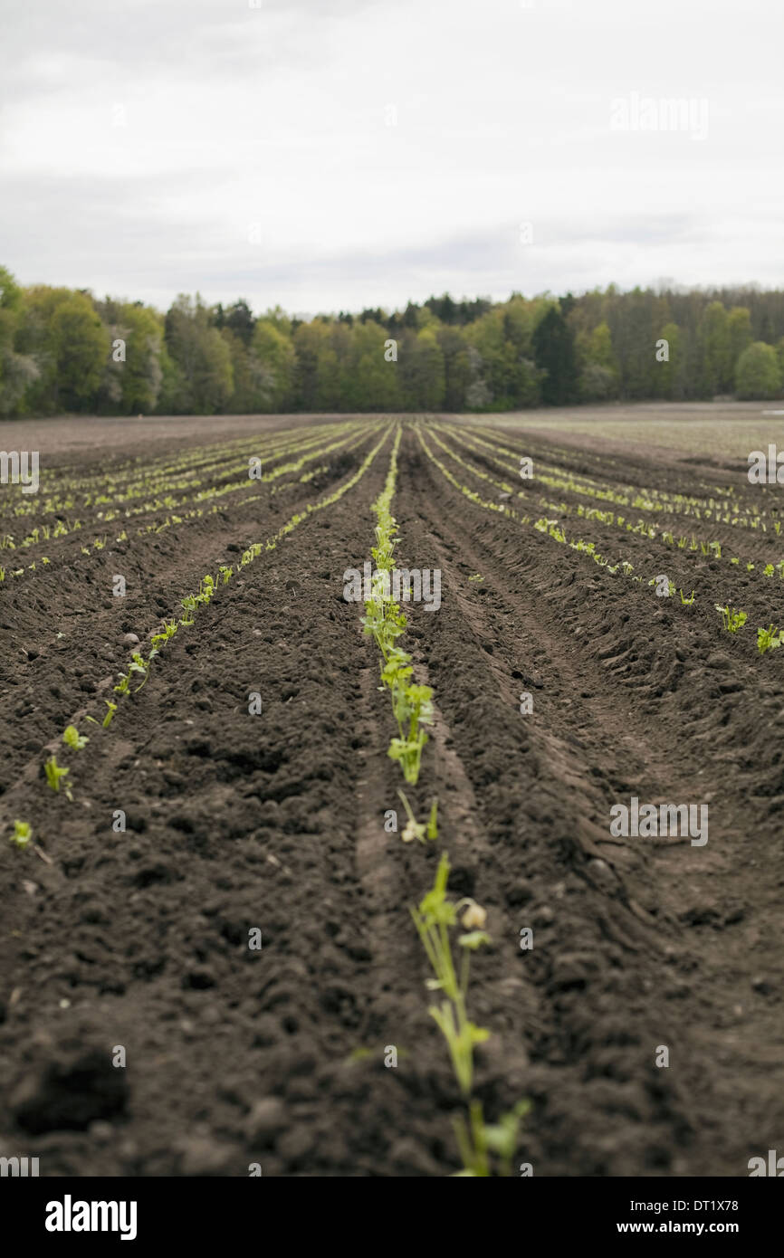 An open field with ploughed earth Seedlings growing in rows - Stock Image