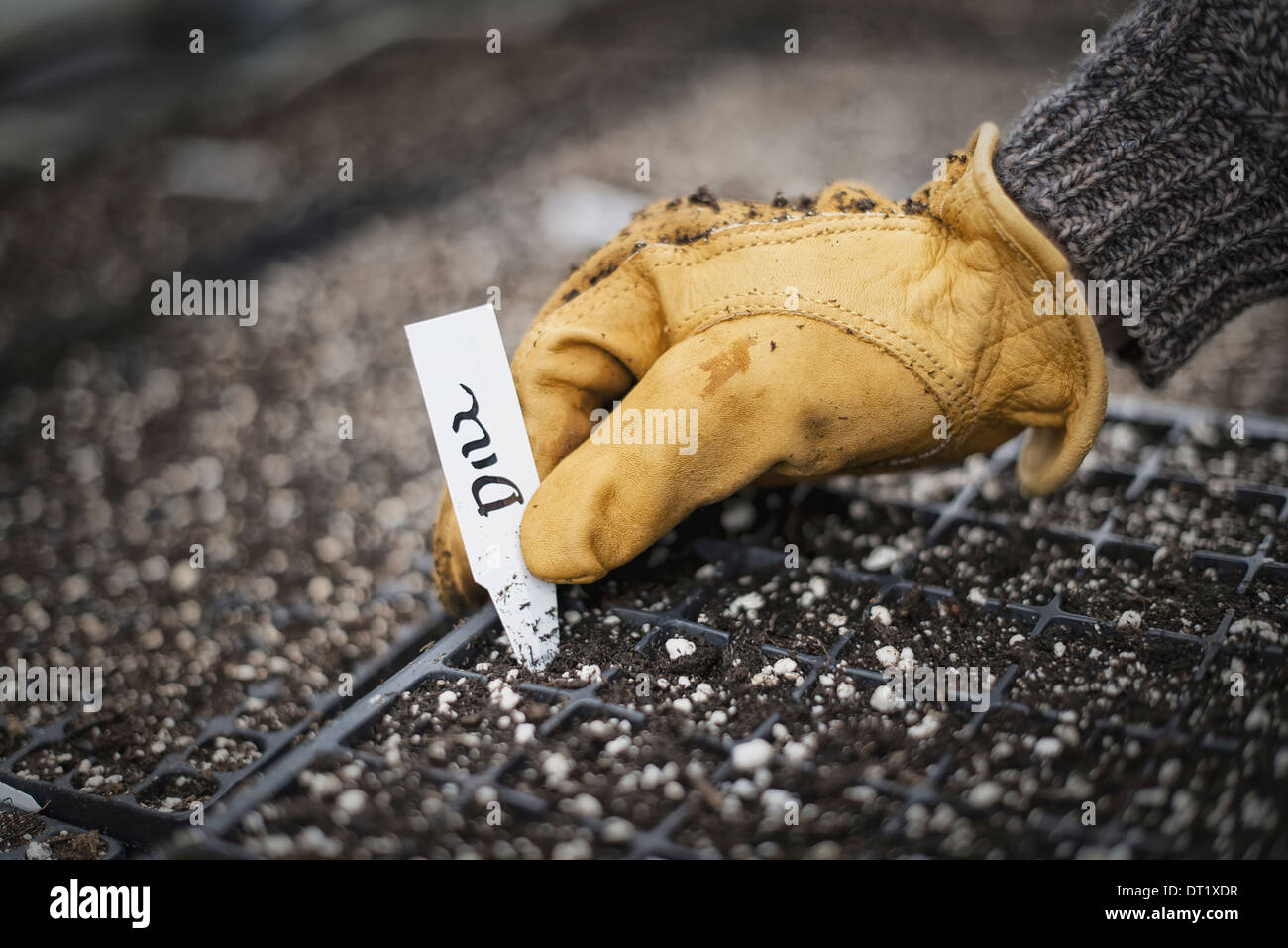 Spring growth in an organic nursery Planting and labelling seed - Stock Image