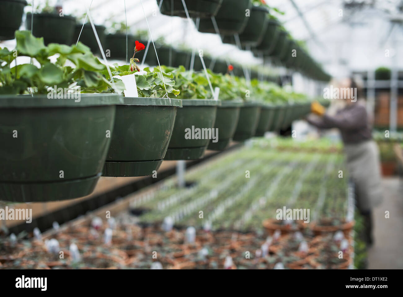 Spring growth in an organic plant nursery A glasshouse with hanging baskets and plant seedlings - Stock Image