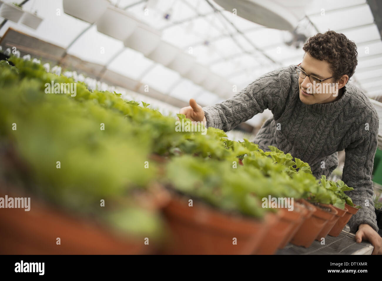 A man working in a greenhouse tending young plants in pots - Stock Image