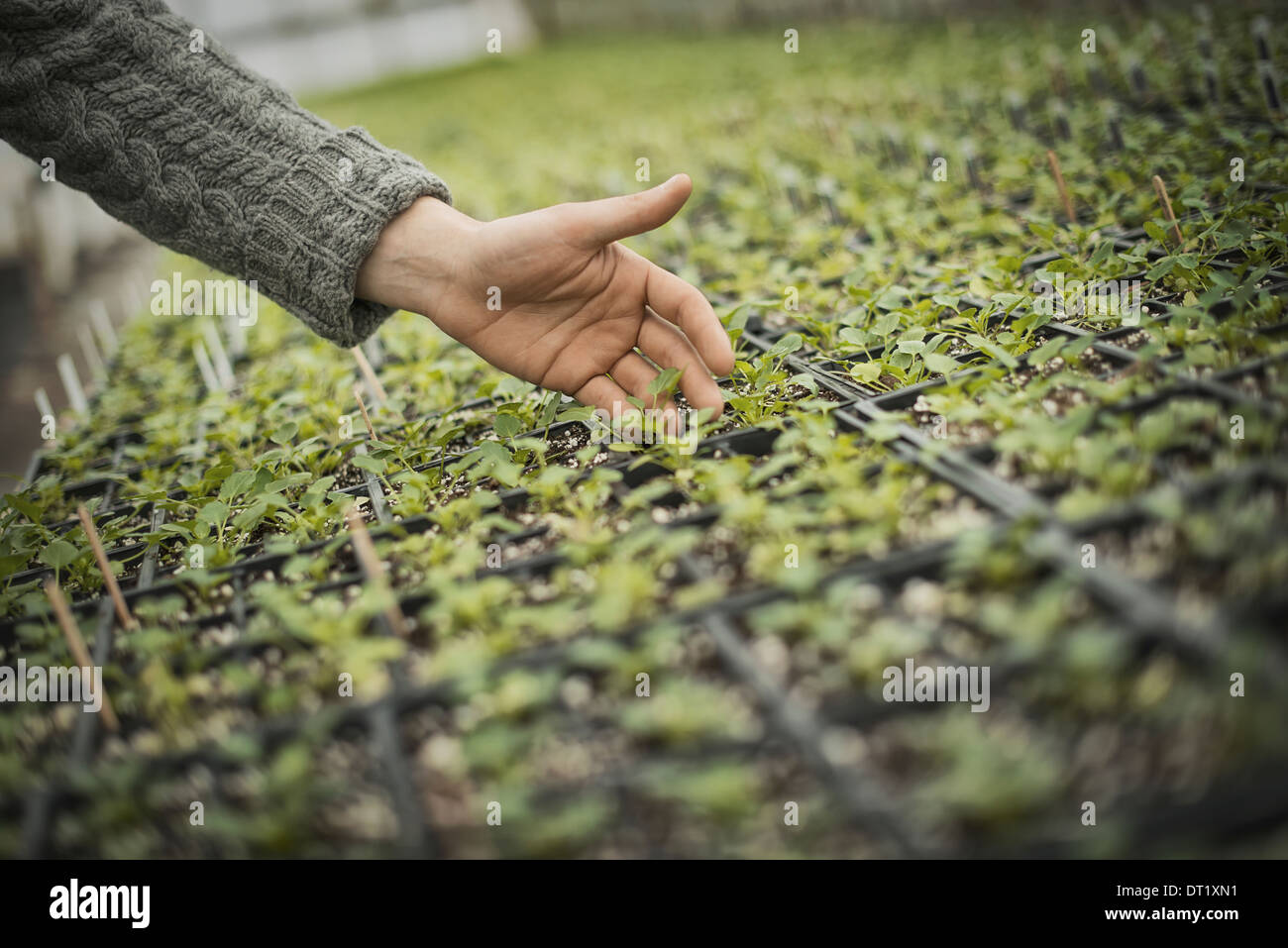 Spring Planting A man tending trays of small plant seedlings - Stock Image