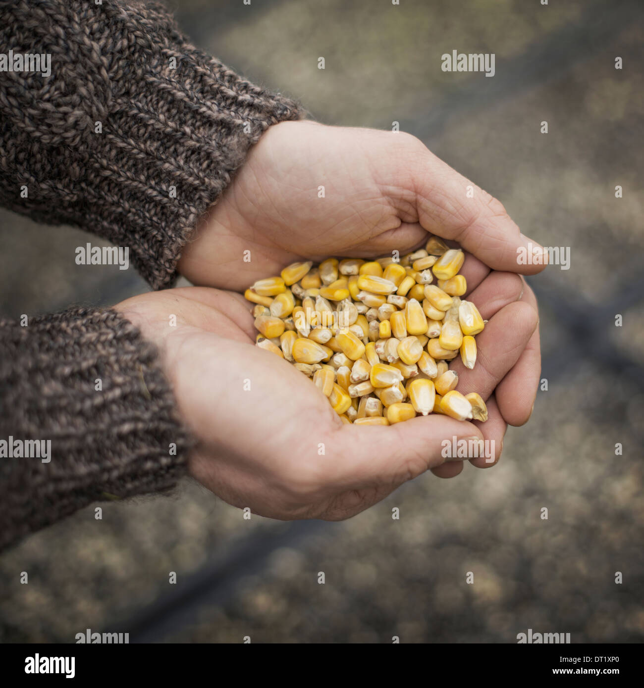 Spring Planting A man holding a handful of plant seeds - Stock Image