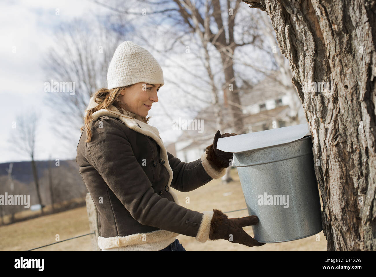 A maple syrup farm A young woman holding a bucket which is tapping the sap from the tree - Stock Image