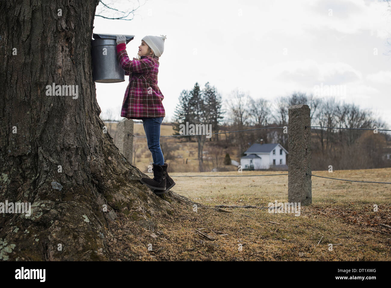A maple syrup farm A young girl holding a bucket which is tapping the sap from the tree Stock Photo