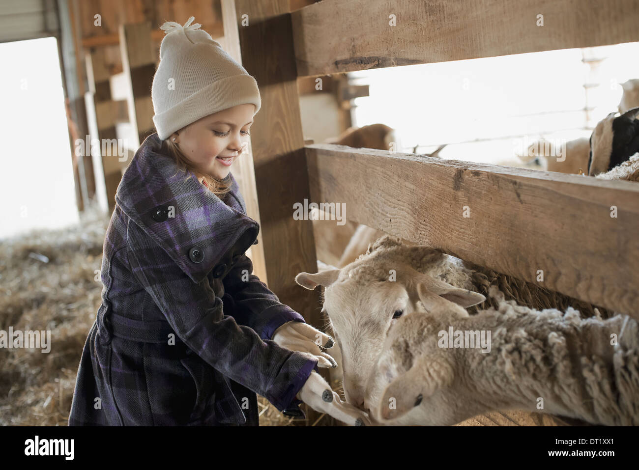 A child in the animal shed letting the sheep feed from her hand - Stock Image
