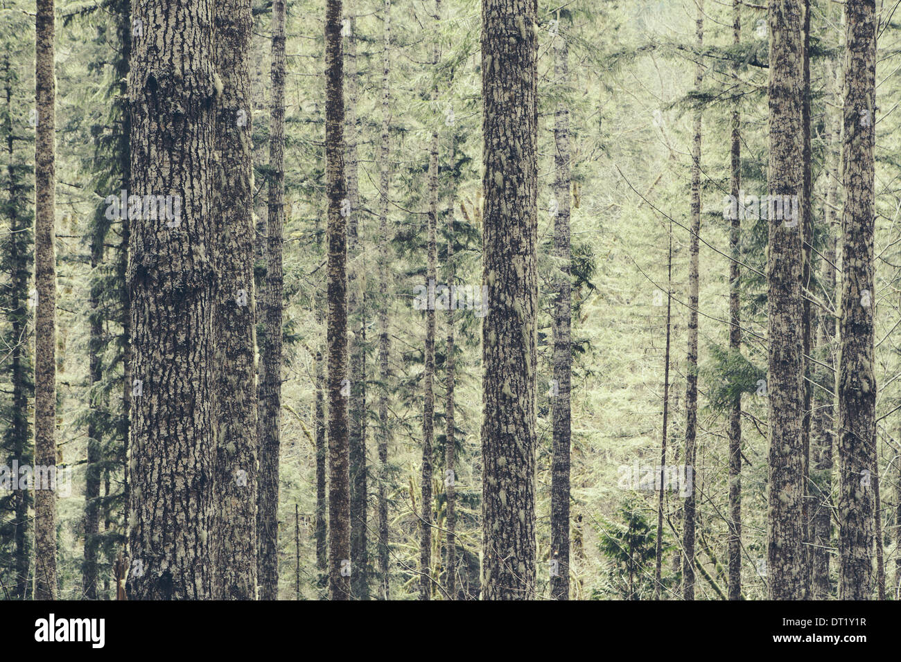 A dense forest of green moss covered trees of old growth cedar fir and hemlock in a national forest in Washington USA - Stock Image