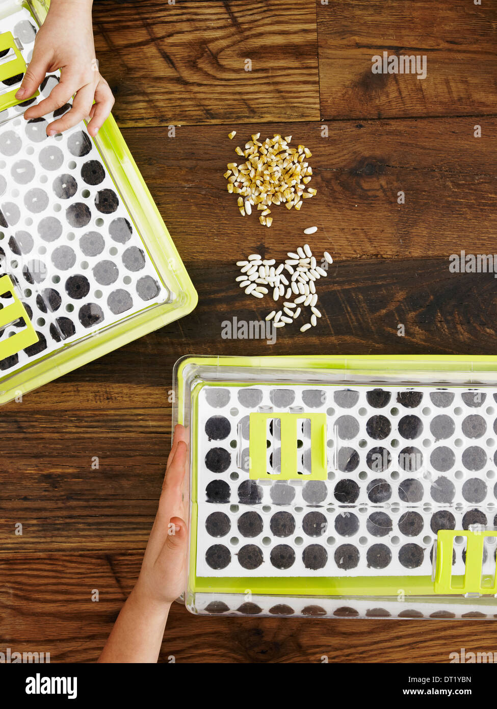 View from overhead of two children handling seed and planting a variety of seeds into a seed growing tray - Stock Image