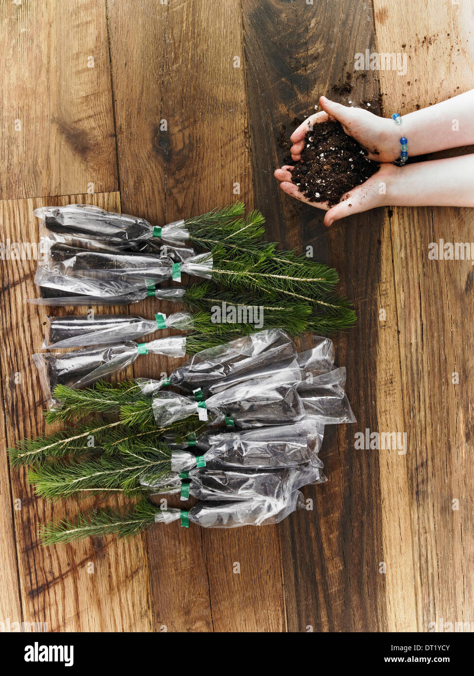 Rows of small evergreen seedlings laid on a tabletop A child holding a handful of soil - Stock Image