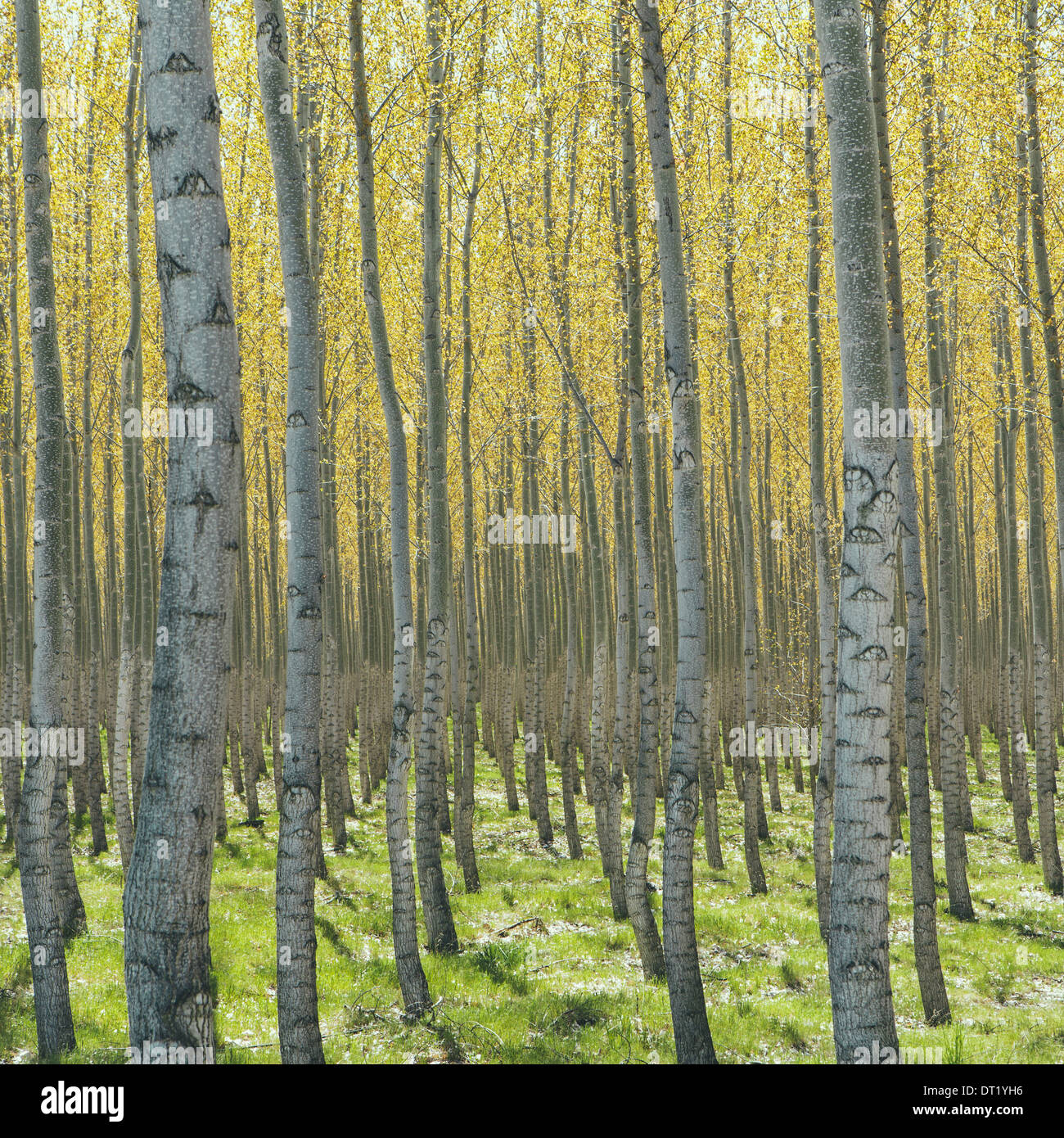 Rows of commercially grown poplar trees on a tree farm near Pendleton Oregon Pale bark and yellow and green leaves - Stock Image