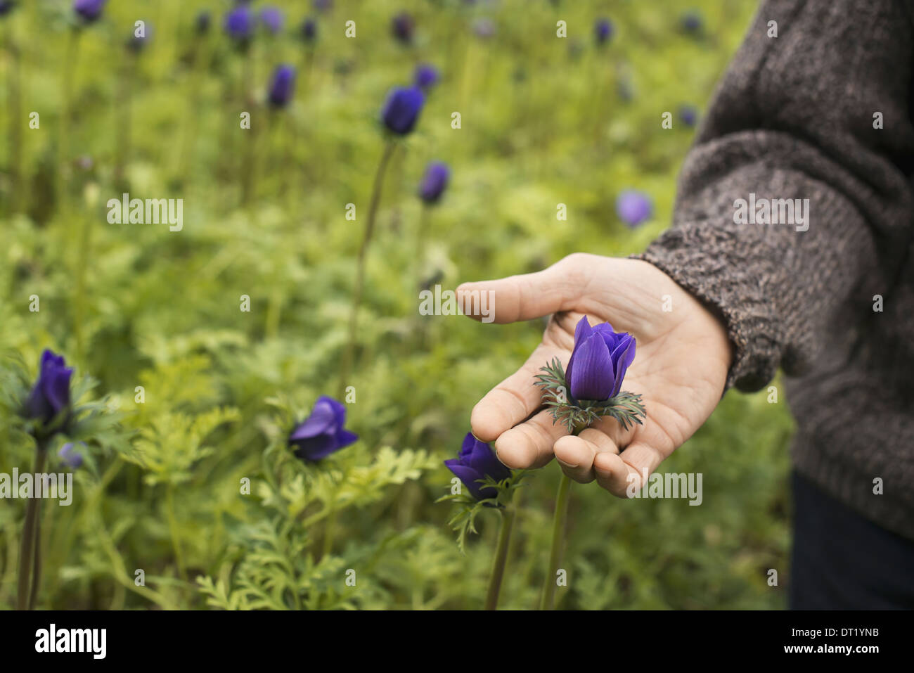 A man working in an organic plant nursery glasshouse in early spring - Stock Image
