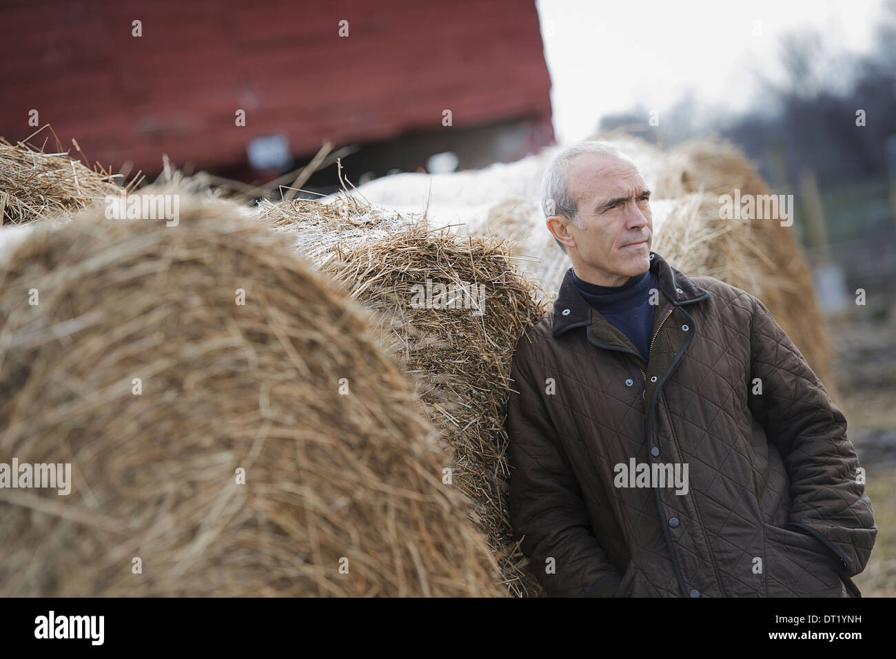 An organic farm in winter A man standing beside large hay bales - Stock Image
