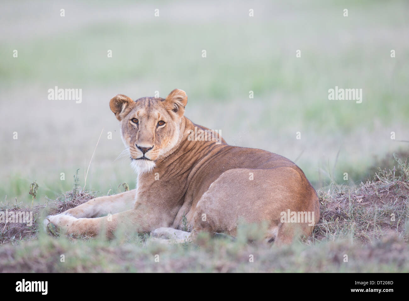 Lioness part of the famous Marsh lion pride of the Maasai Mara Kenya  (Panthera leo) - Stock Image