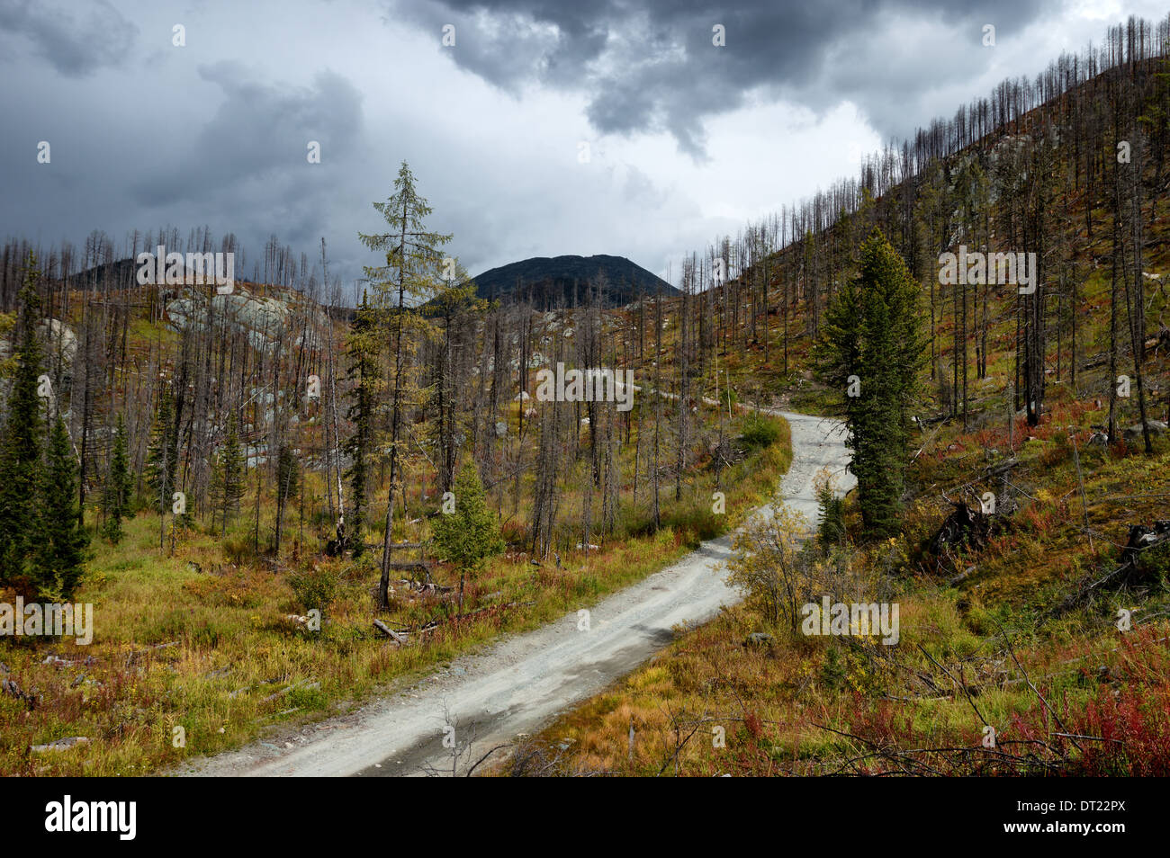 Forest recovering after a fire in the mountains of Altai, Kazakhstan - Stock Image
