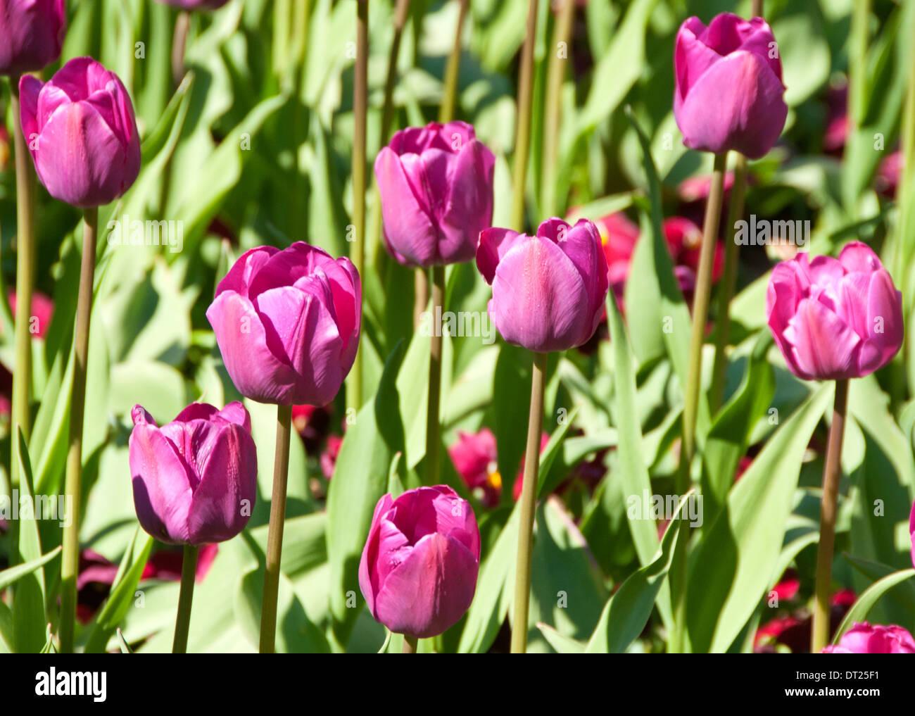 Purple Tulips (Botanical Name: Tulipa) - Stock Image
