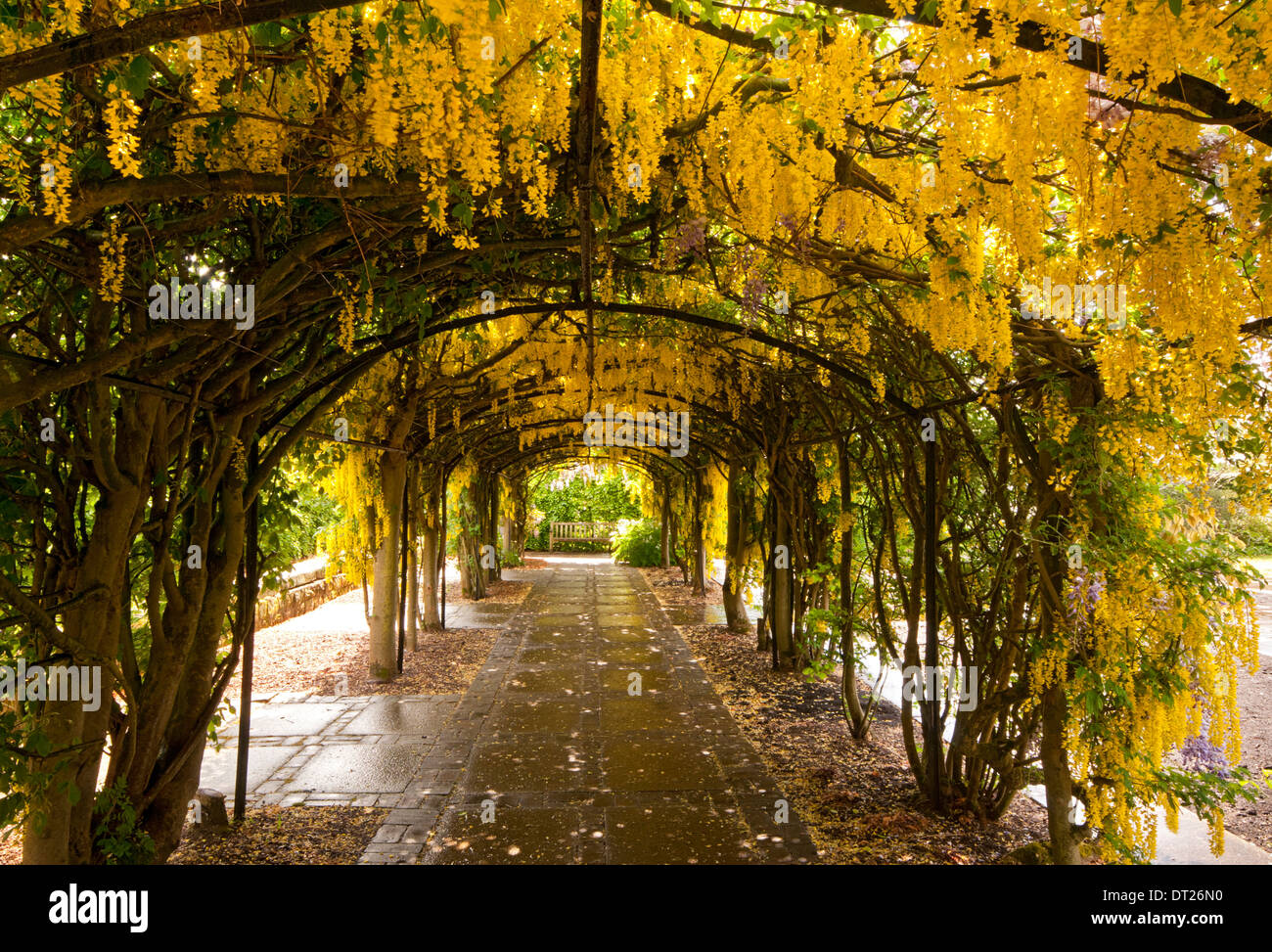 The Laburnum Arch, Ness Botanical Gardens, The Wirral,  Merseyside, England, UK - Stock Image